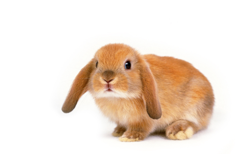 Download Cute Bunny Desktop Wallpaper : Widescreen 16:10 : 1152 x 720 | 1280 x 800 ...