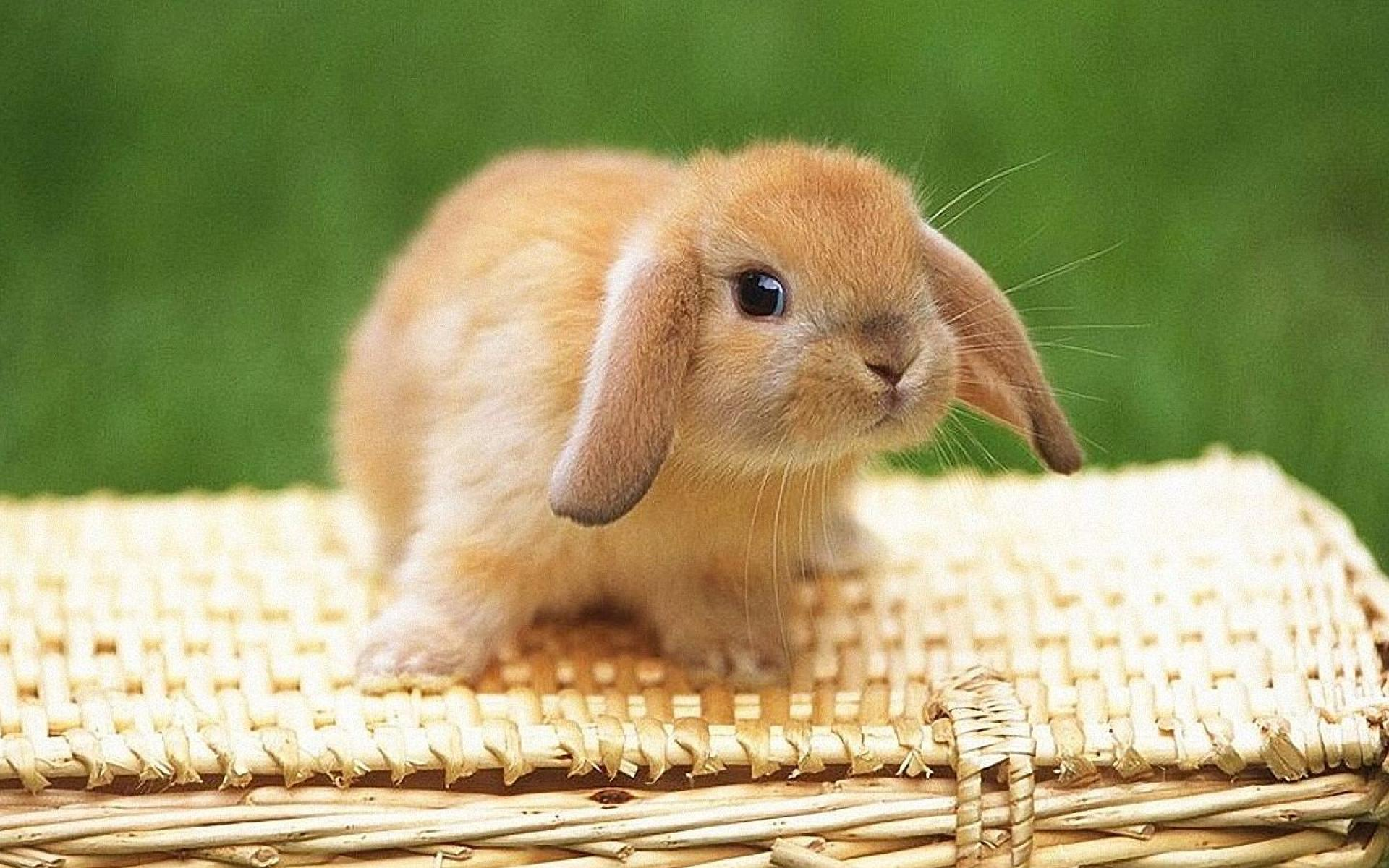 ... bunny-wallpapers-image ...
