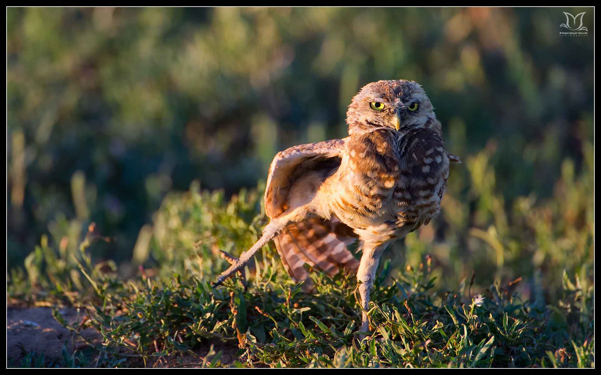 Burrowing Owl Wallpapers Burrowing Owl
