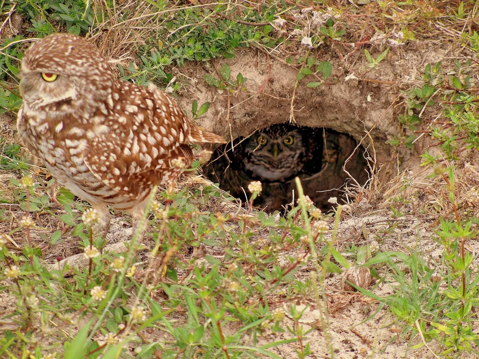 Burrowing owls, Marco Island, FL