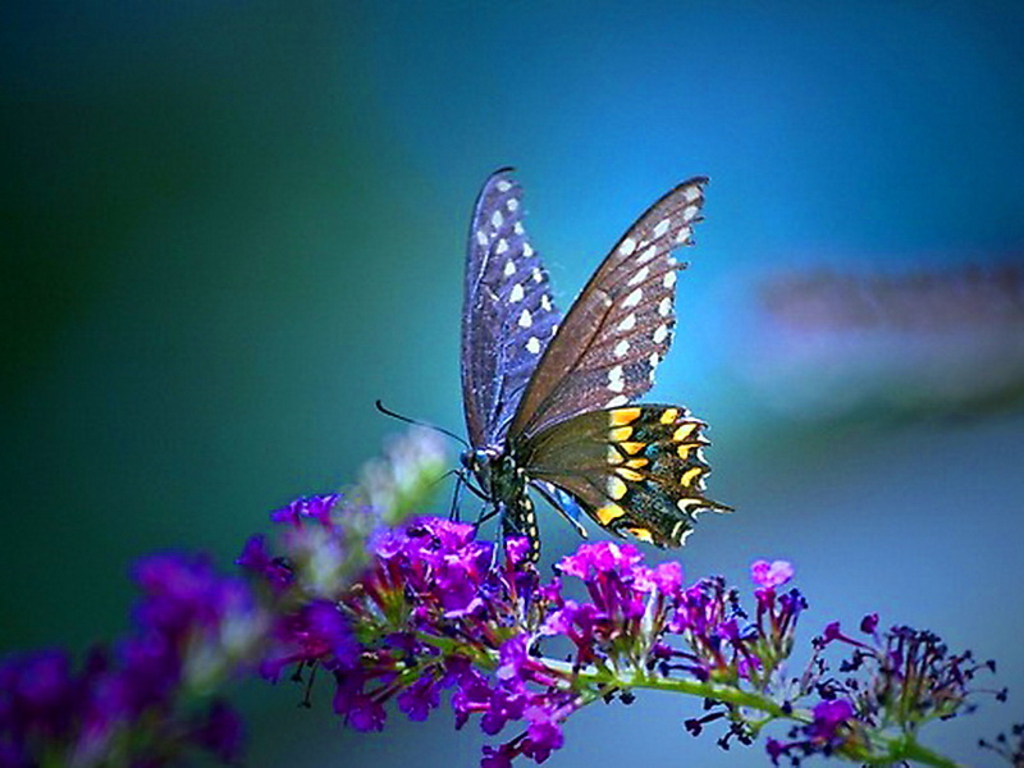 The butterfly is an insect of the Lepidoptera order. As all the other insects of this order, the butterflies are remarked for their unusual life cycle, ...