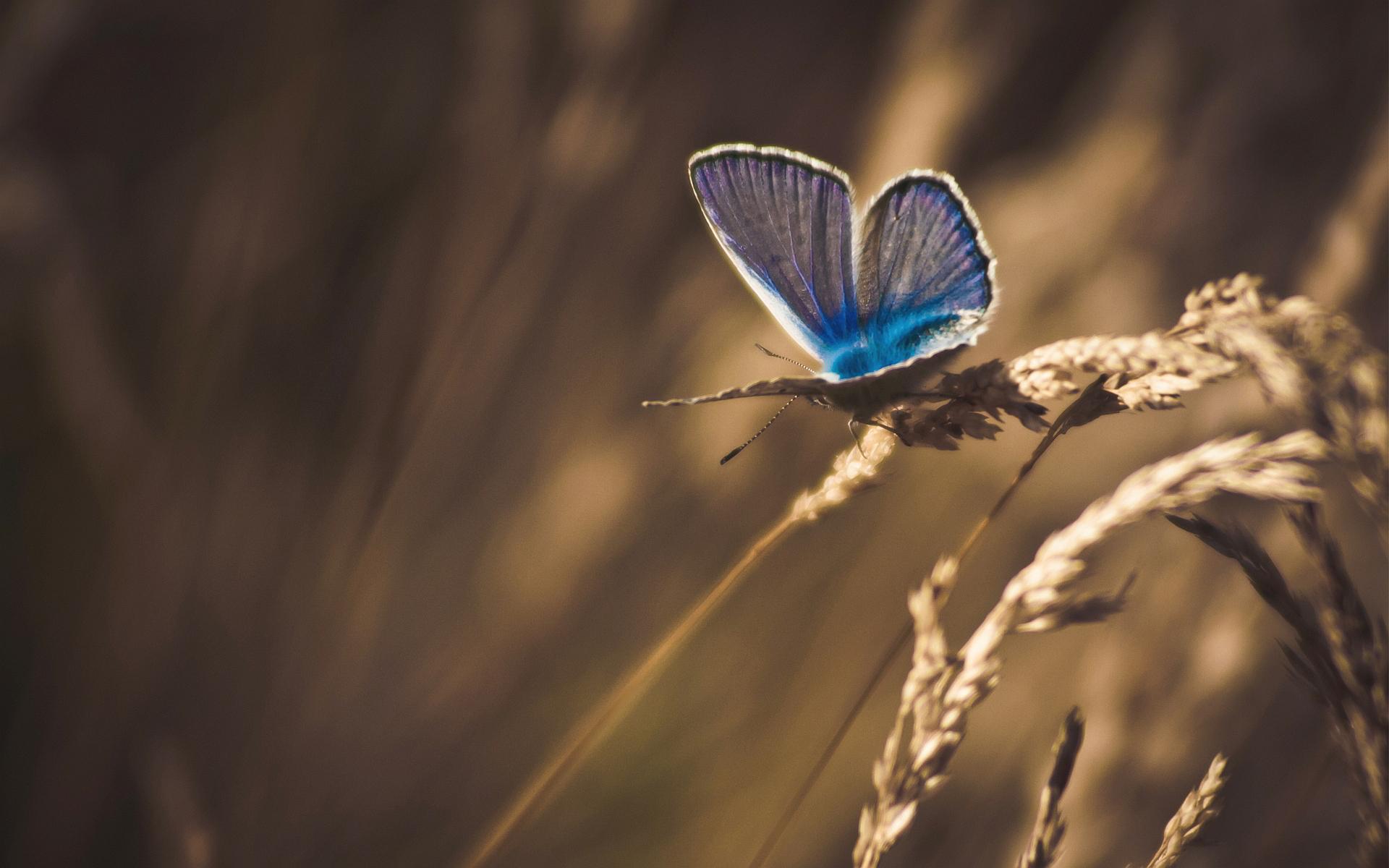 Butterfly cornfield