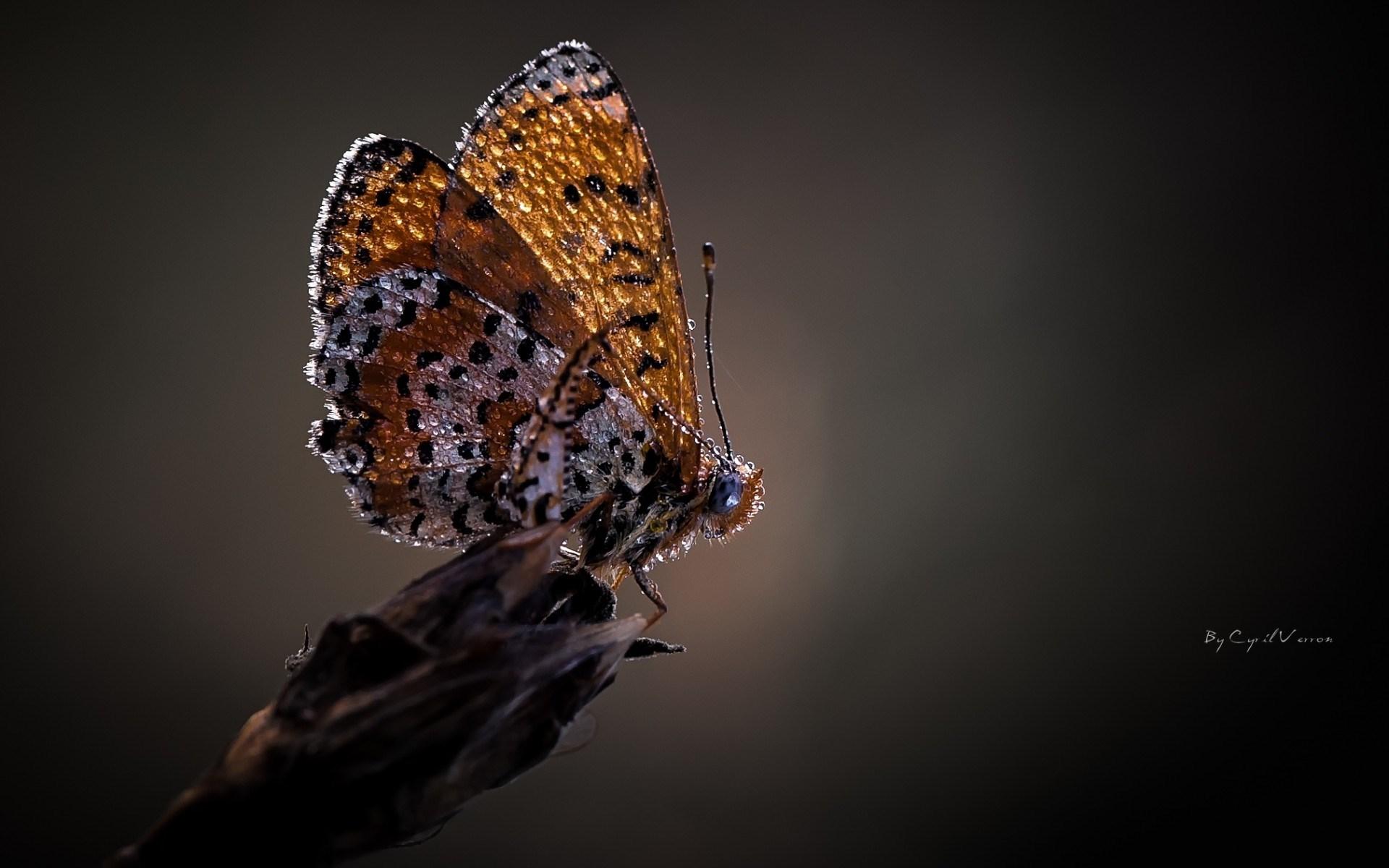 Butterfly Drops Dew Macro
