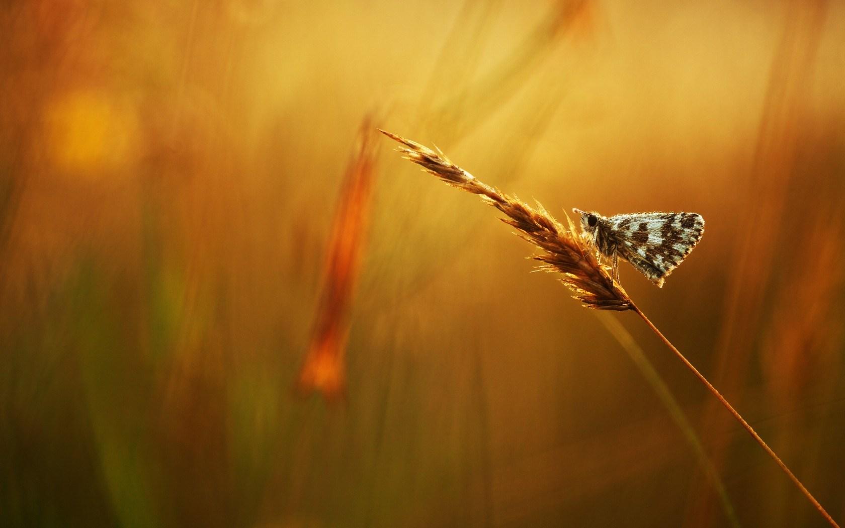 Butterfly Grass Dew Drops