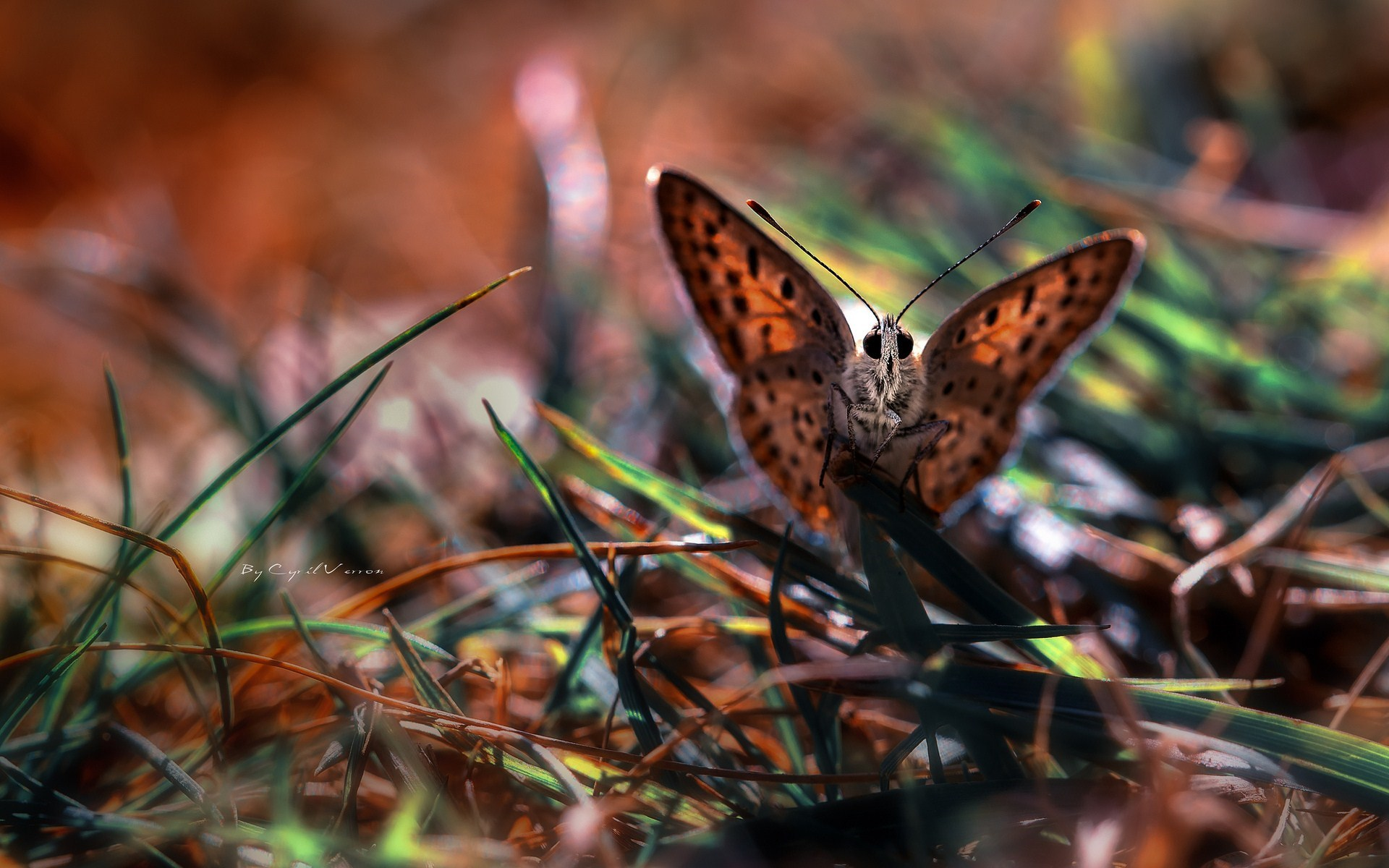 Butterfly Macro Nature