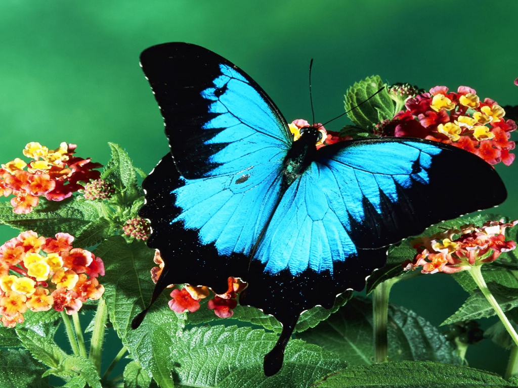 Blue Butterfly Wallpaper; Butterfly Wallpaper; Butterfly Wallpaper ...