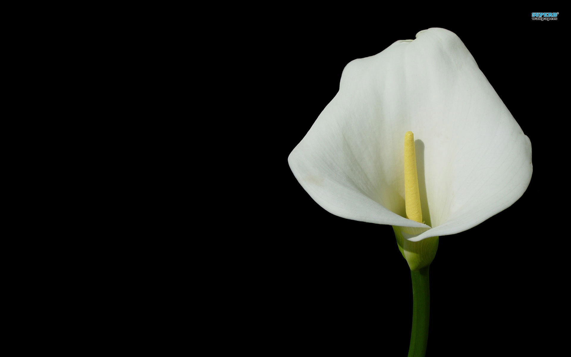 Calla Lily wallpaper 1920x1200 jpg