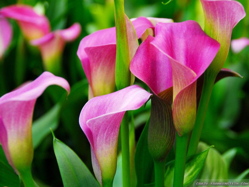Wallpaper: Bulb calla lily wallpapers