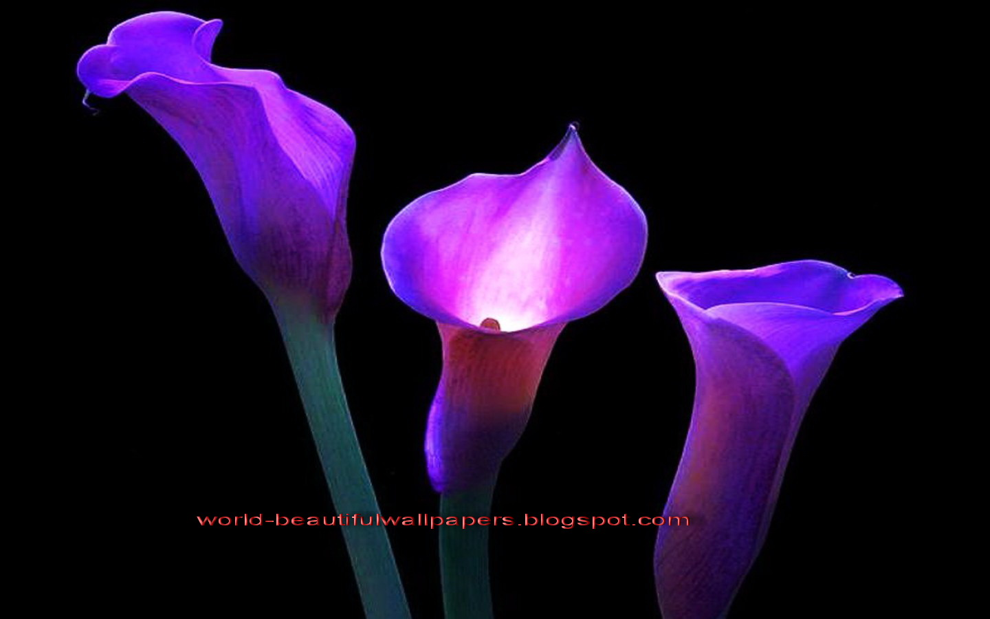 calla lily flowers wallpaper