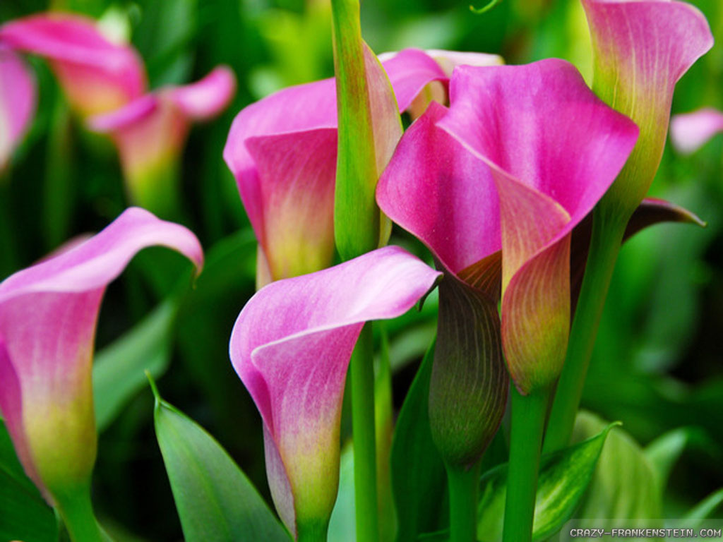 Wallpaper: Bulb calla lily wallpapers
