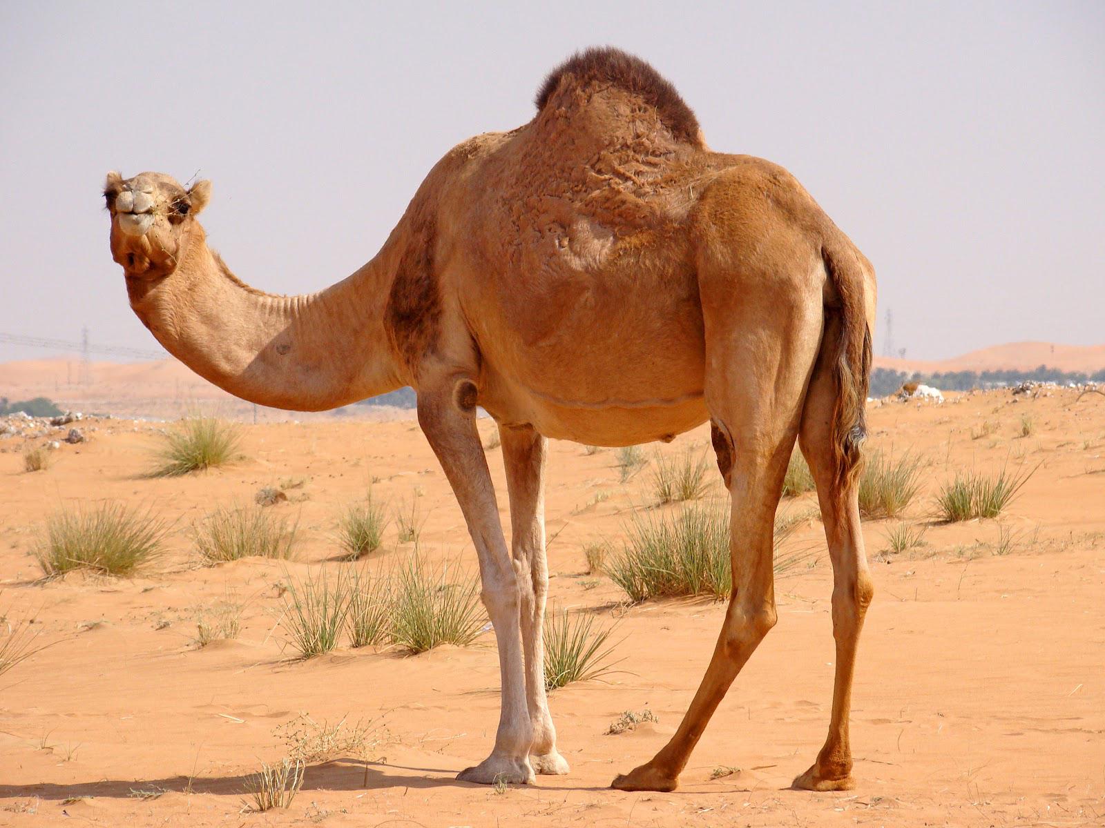 ... Camel · Camel · Camel · Camel