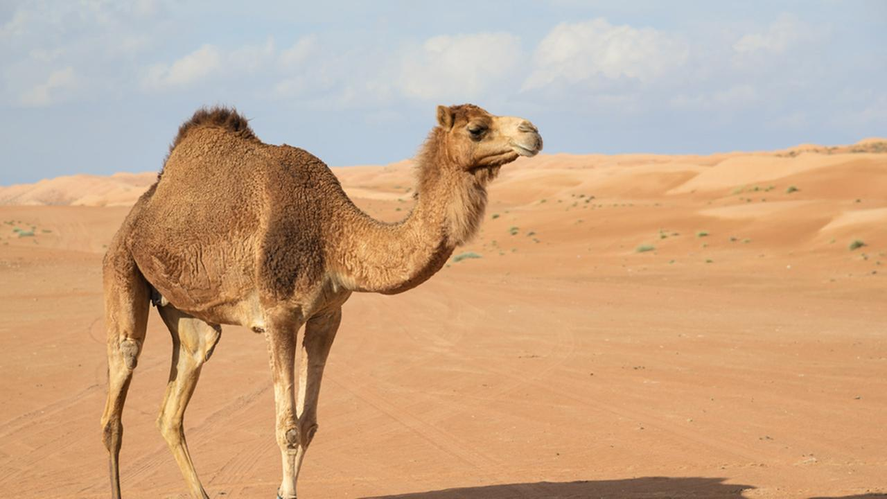 (Stock image) A camel killed a 60-year-old man in Tulum