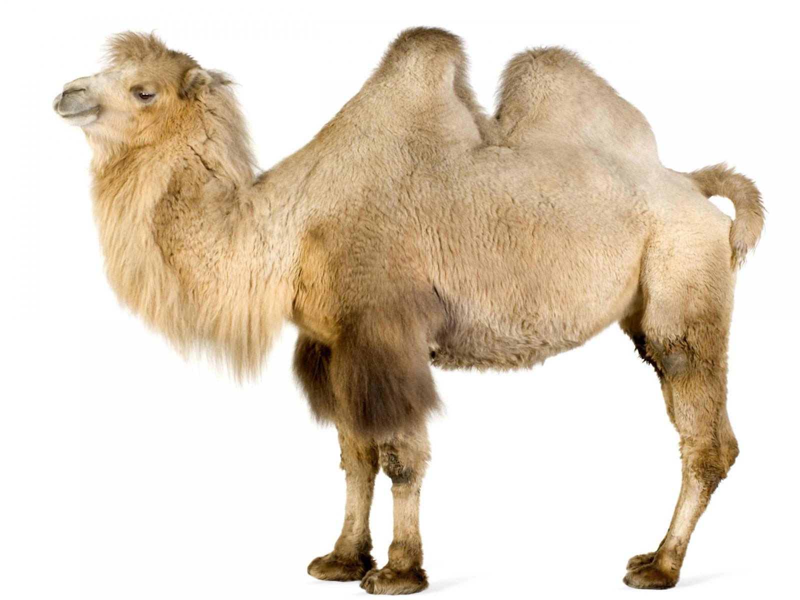 ... Bactrian Camel Bactrian Camel