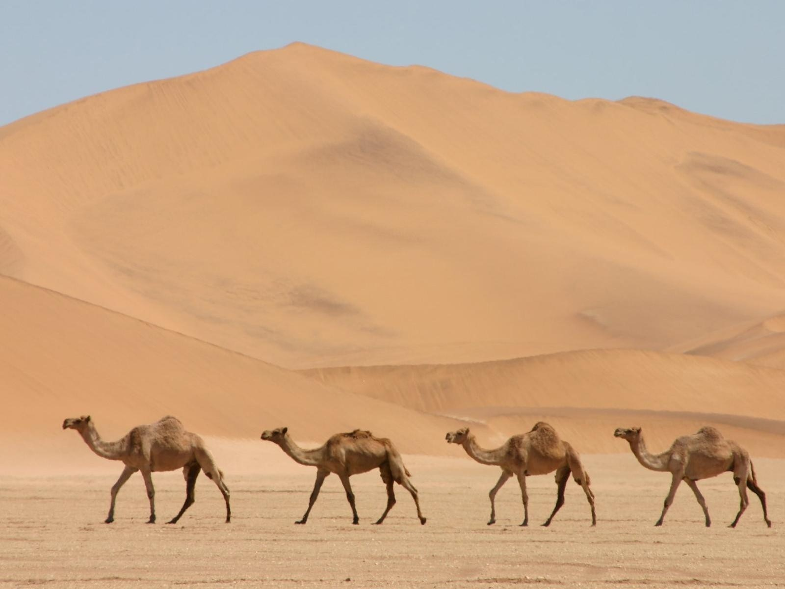 1336 Views 1008 Download Four Desert Camel Animal Pics
