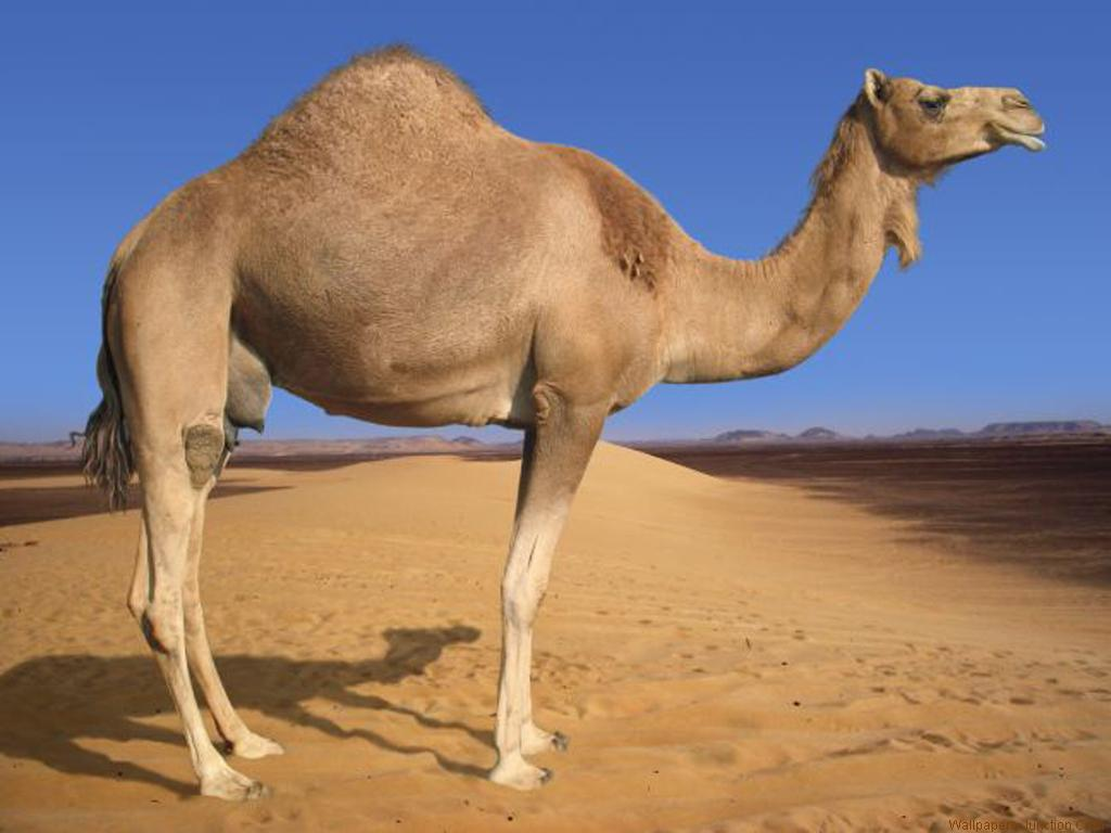 Camel Wallpaper