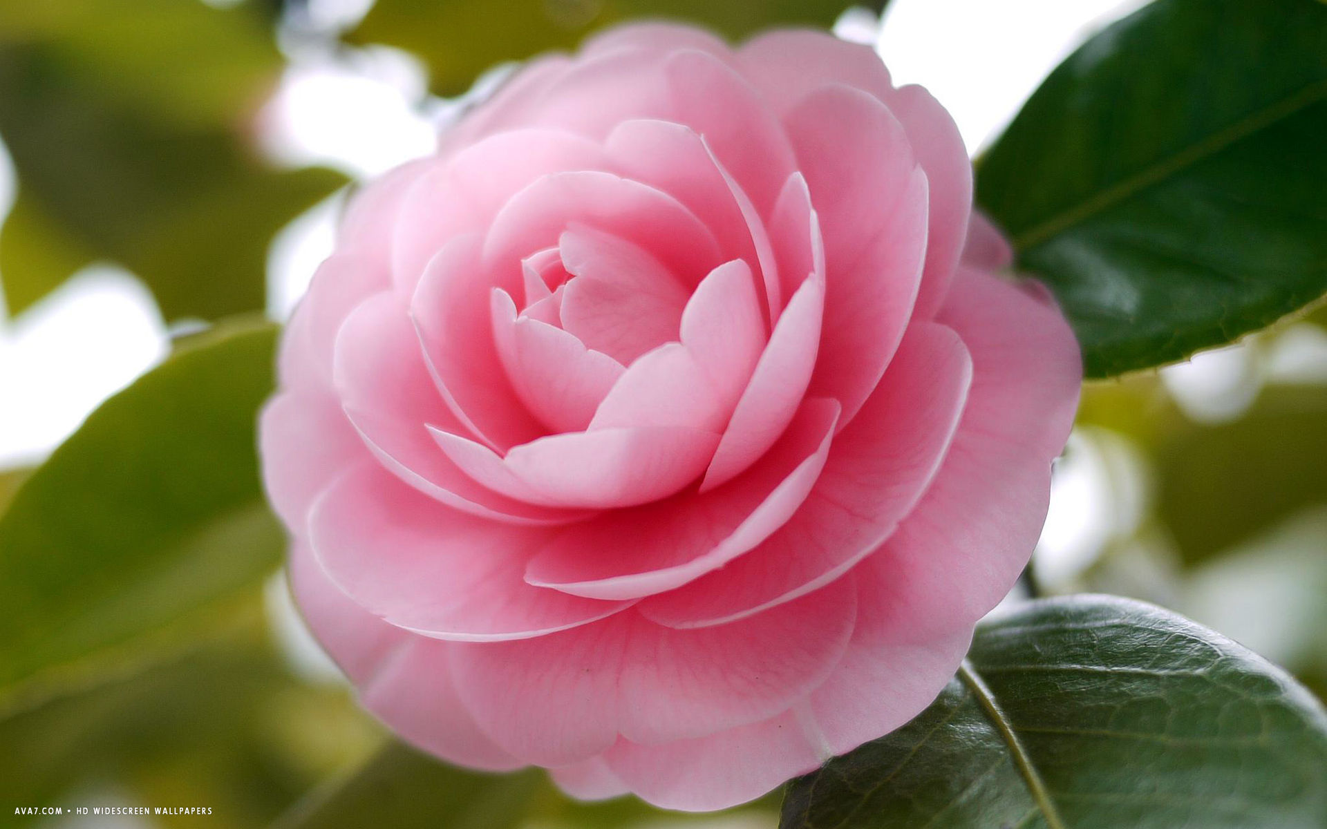 Camellia—This beautifully elegant evergreen shrub is the state flower of Alabama. Camellia's flowers ...
