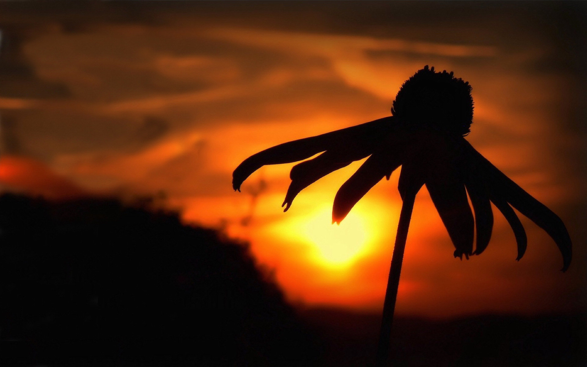 Camomile Sunset Wallpapers Pictures Photos Images. «
