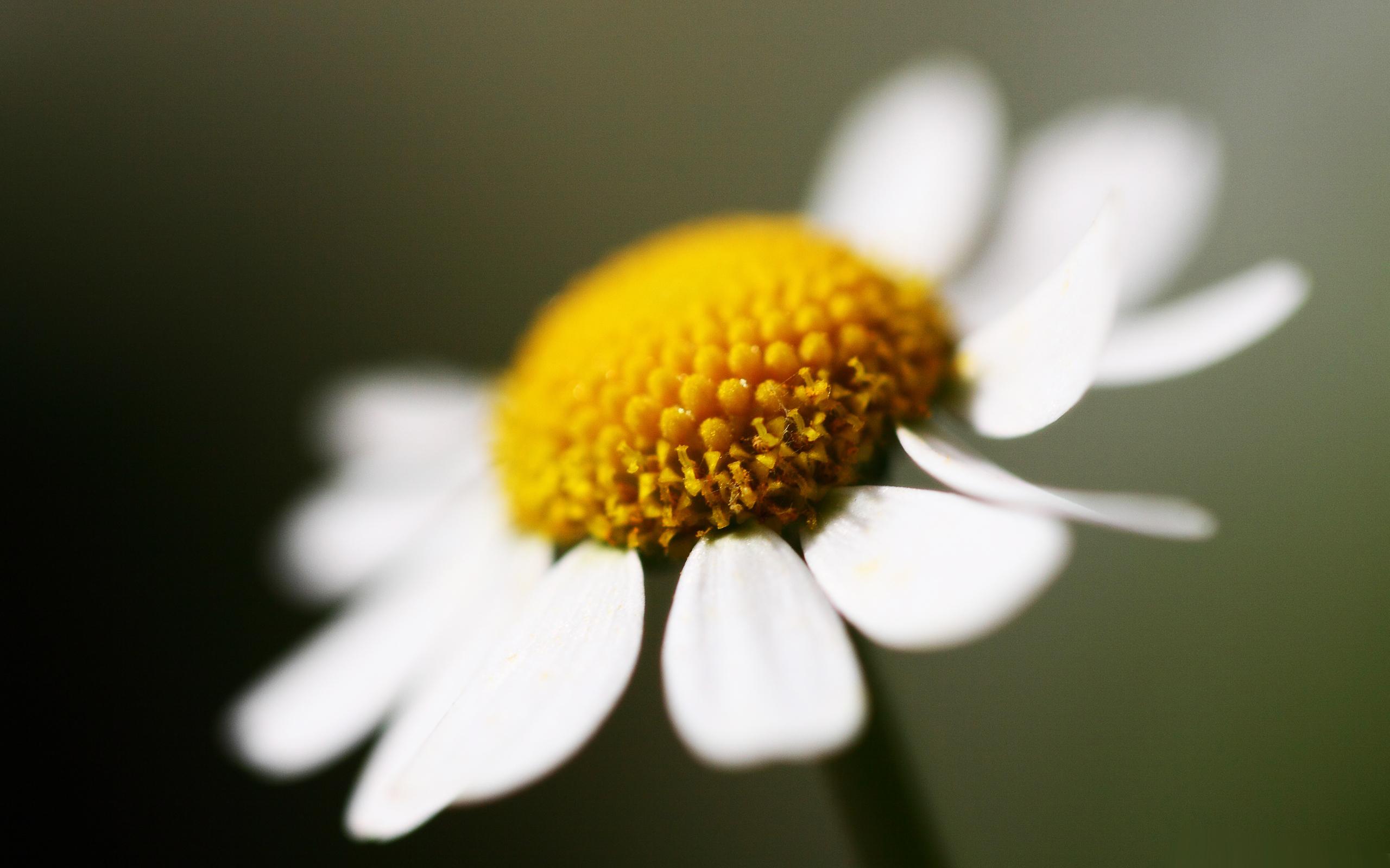 White Camomile