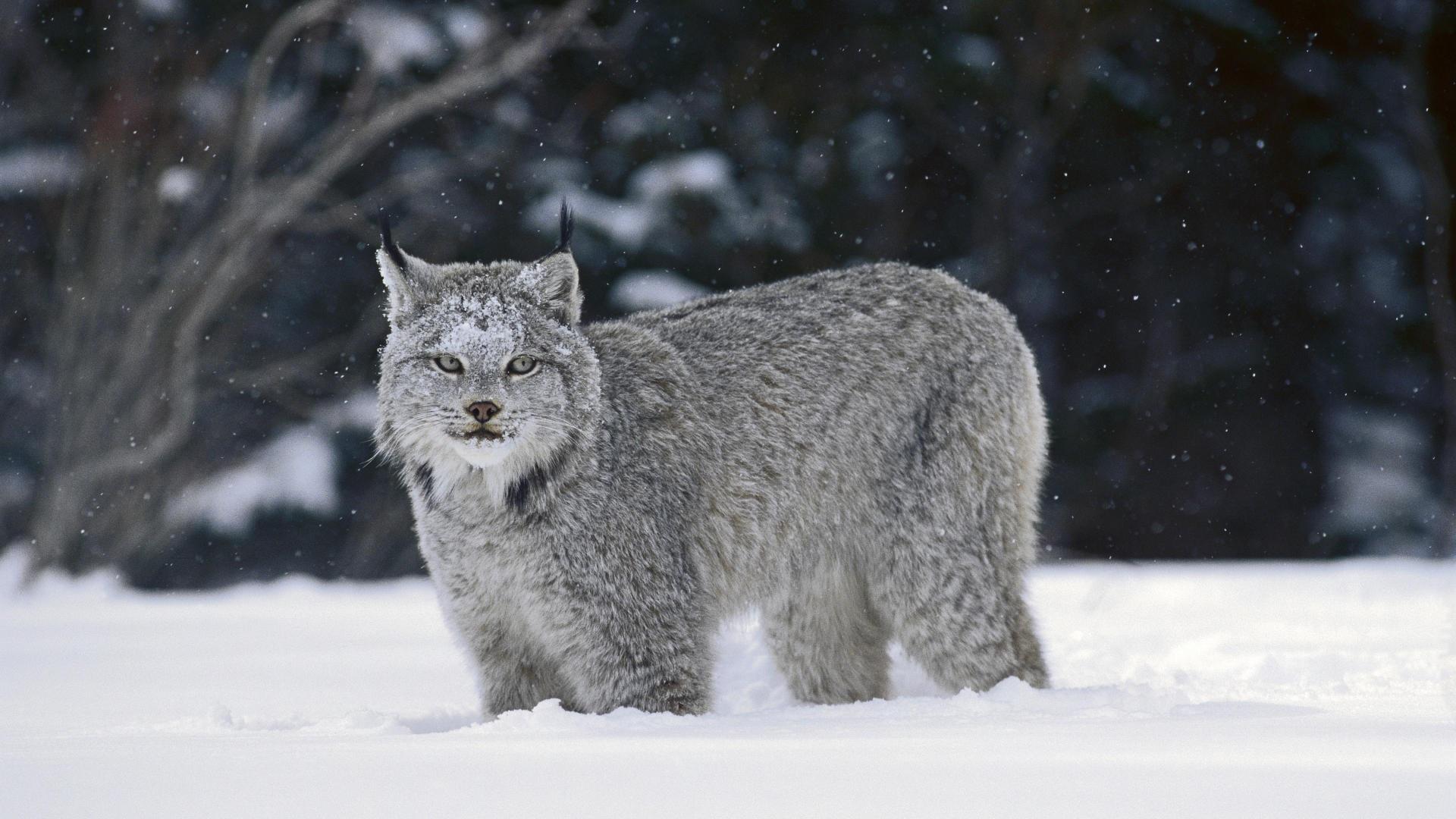 canadian lynx wallpaper