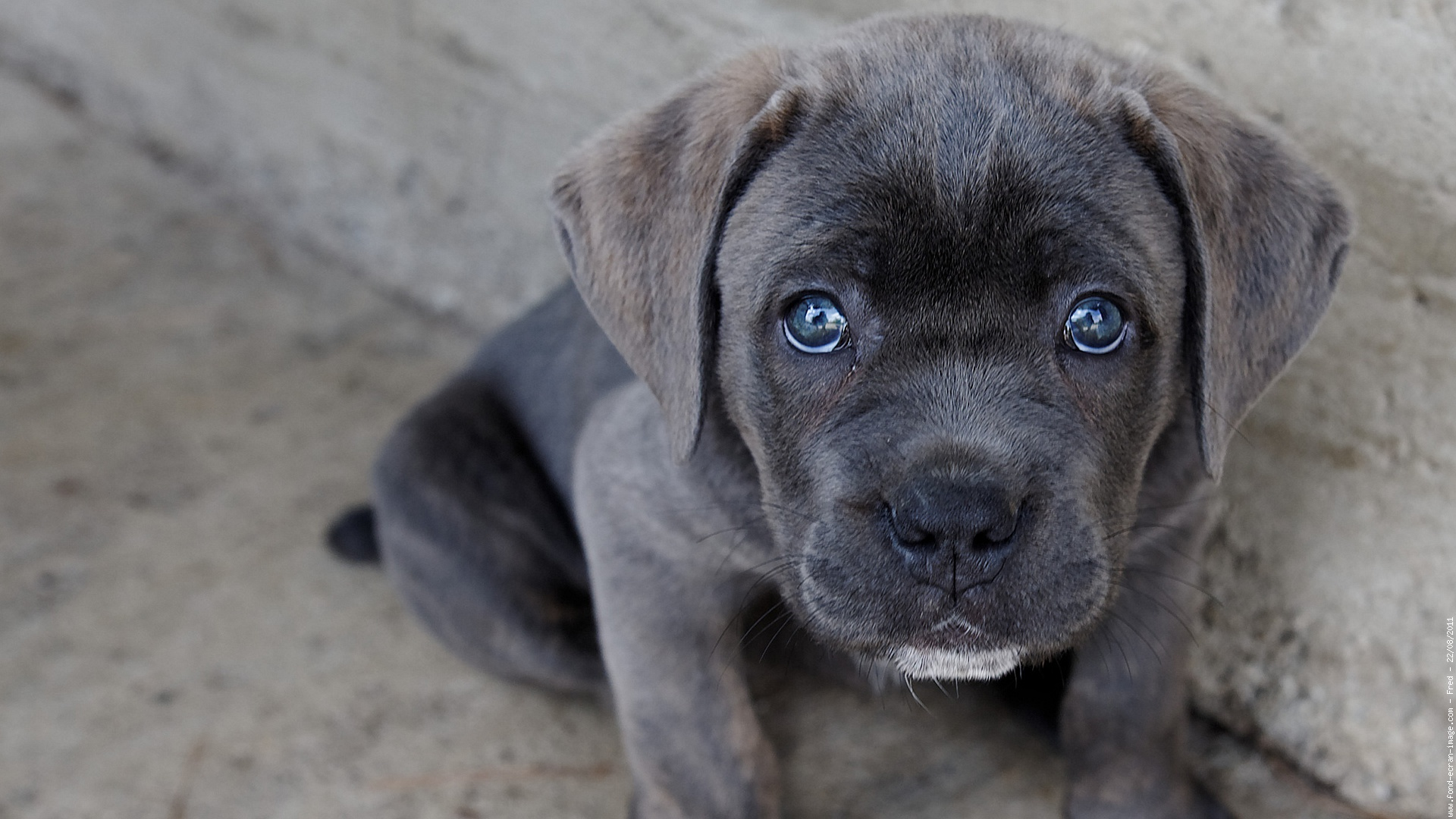 Goddess Photo Cane Corso Godess La Petite Wallpaper #134501 - Resolution 1920x1080 px