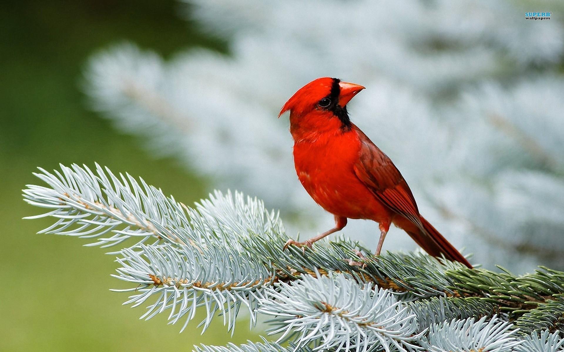 Cardinal Wallpaper 15120
