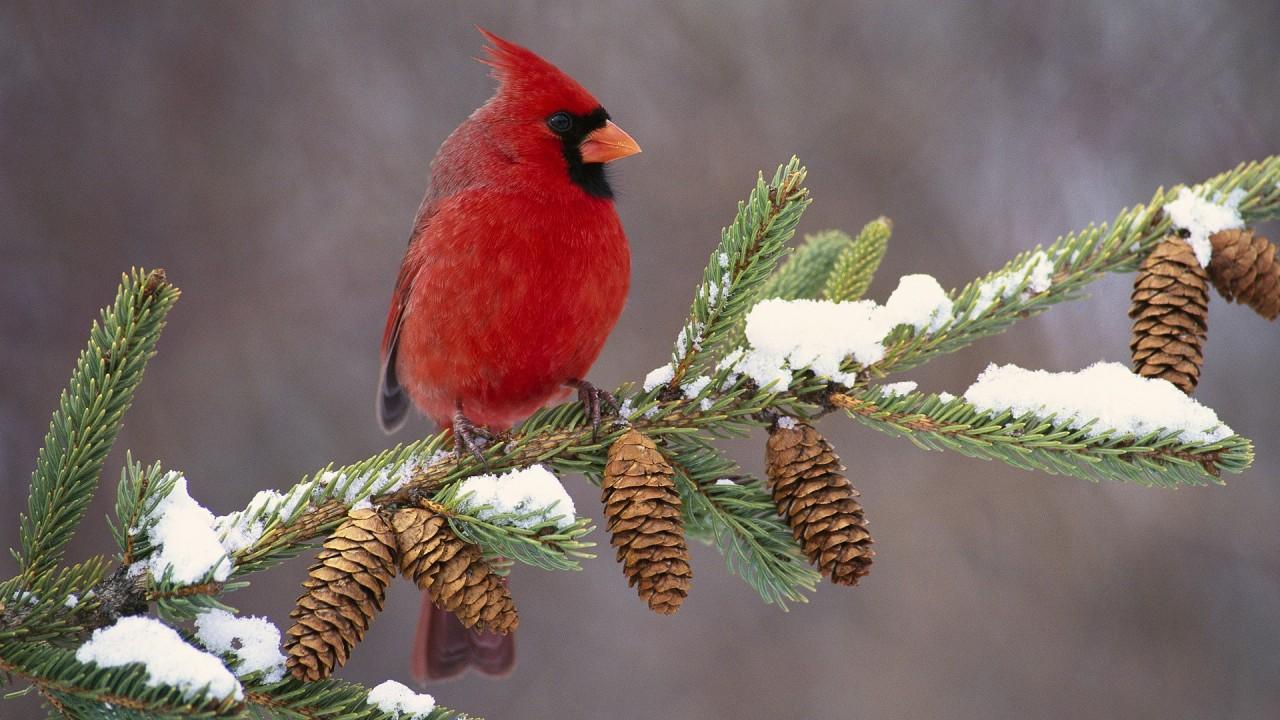 Download Winter Cardinal Wallpaper :