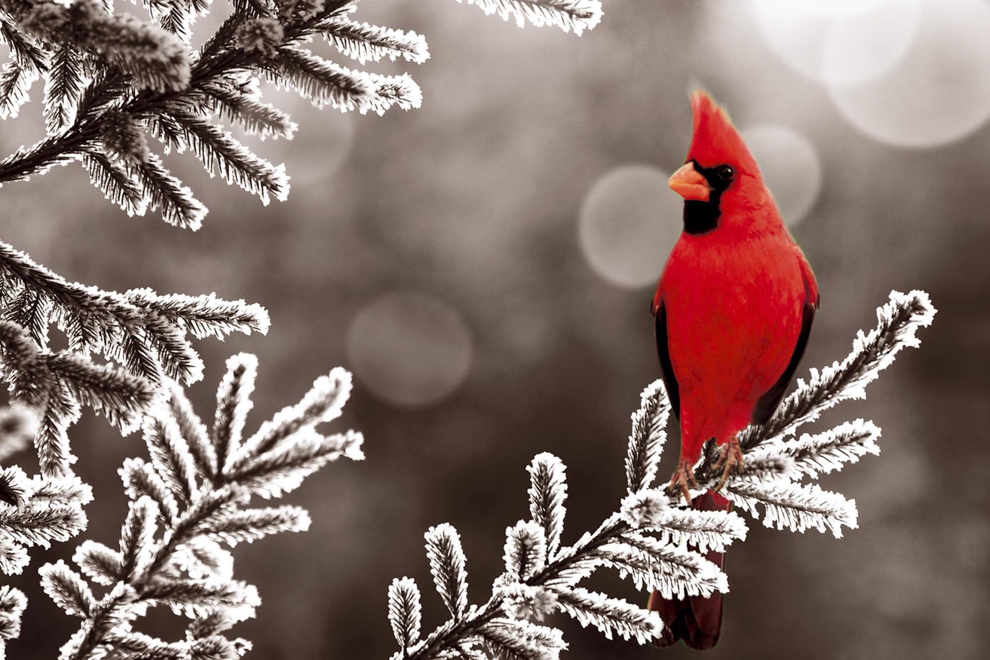 northern-cardinal-birds-hd-wallpapers-beautiful-desktop-backgrounds-