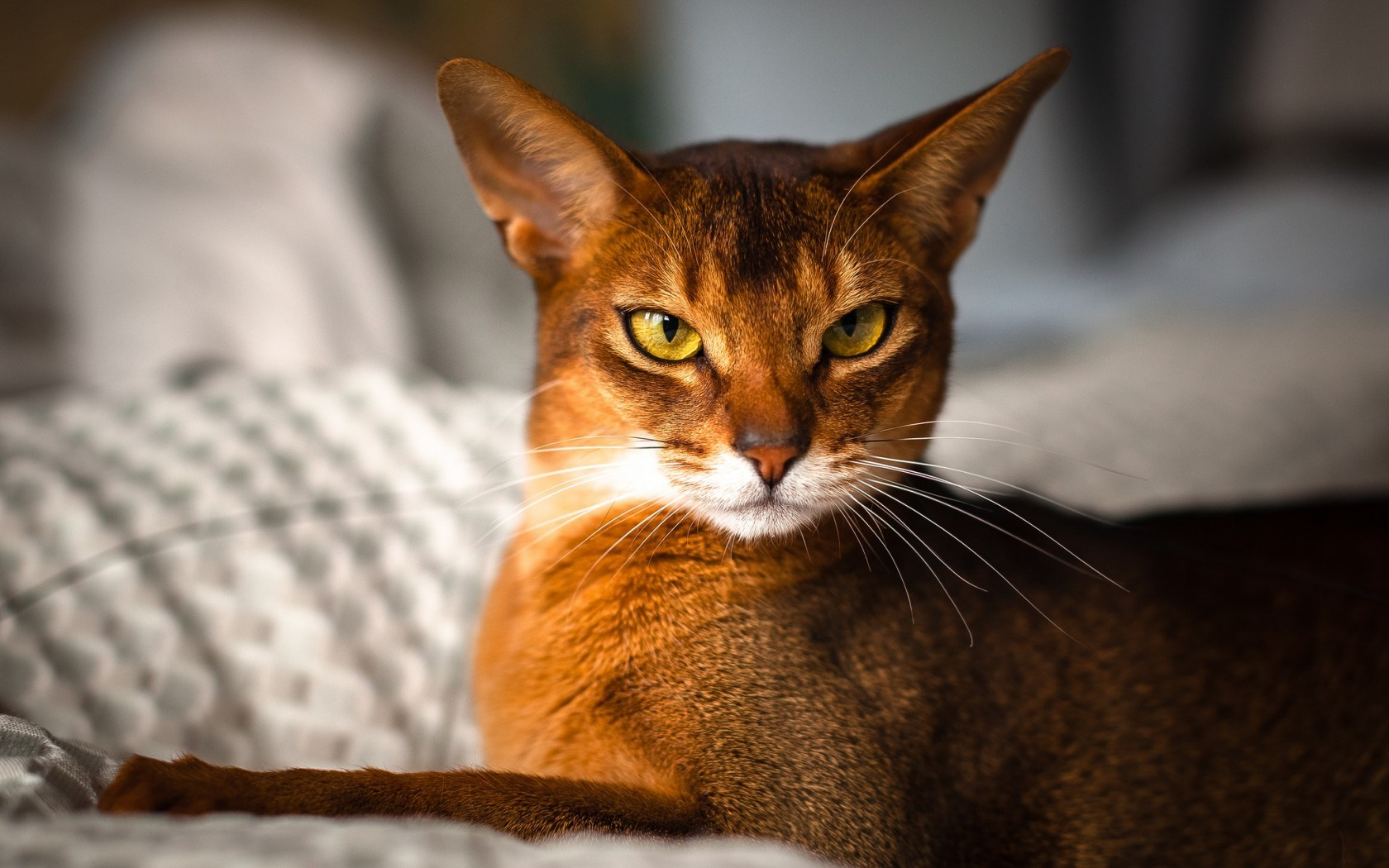 Cat Abyssinian
