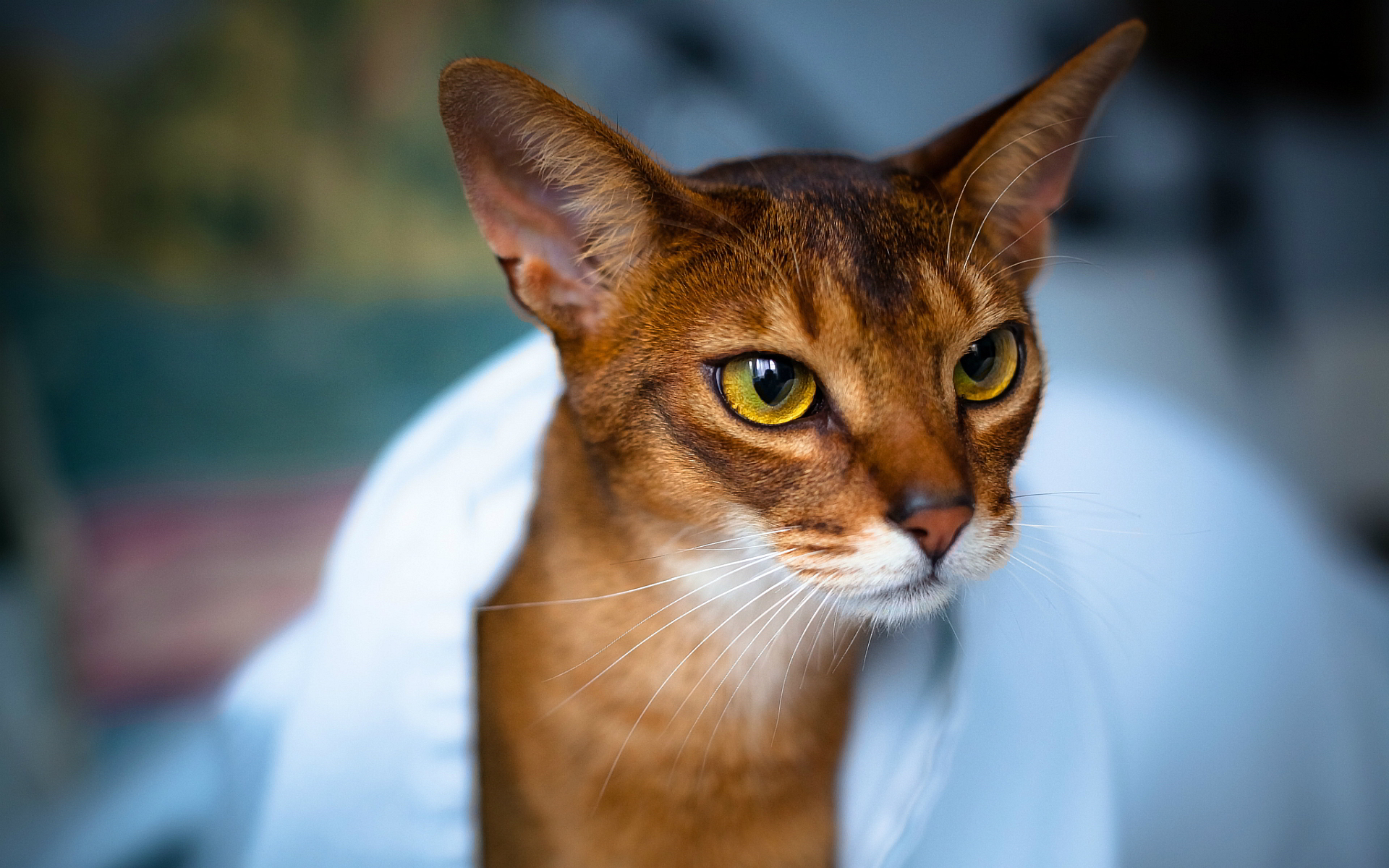 Cat Abyssinian Face