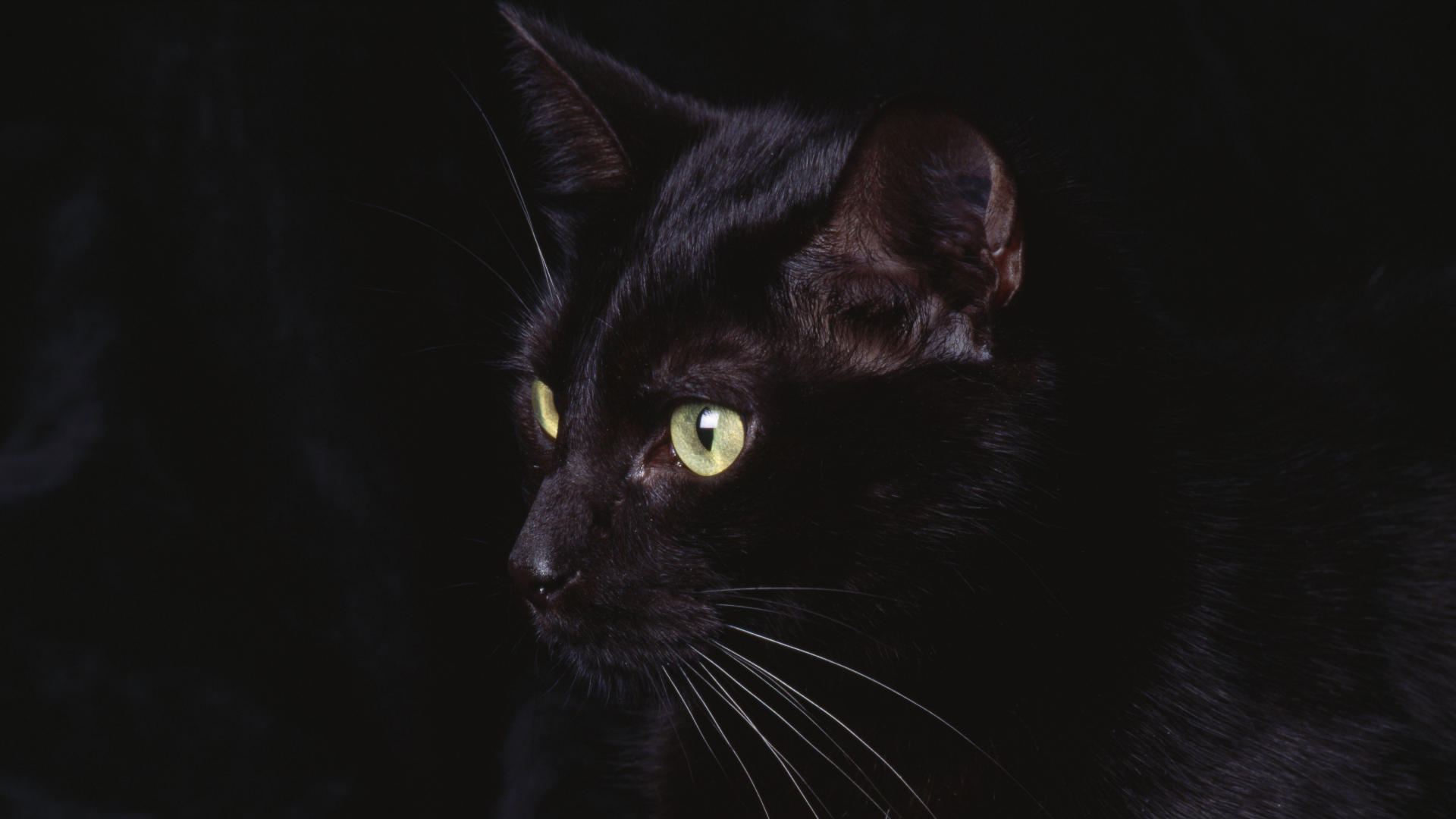 cat black animal wallpaper | 1920x1080 | #12026