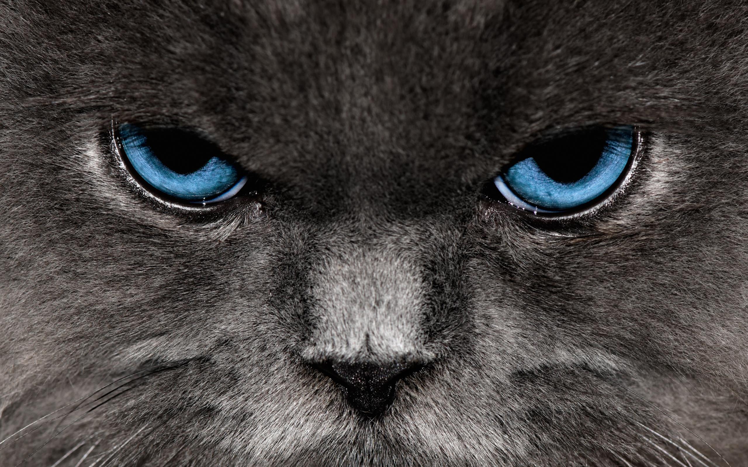 Close up Cats Wallpaper 2560x1600 Closeup, Cats, Blue, Eyes
