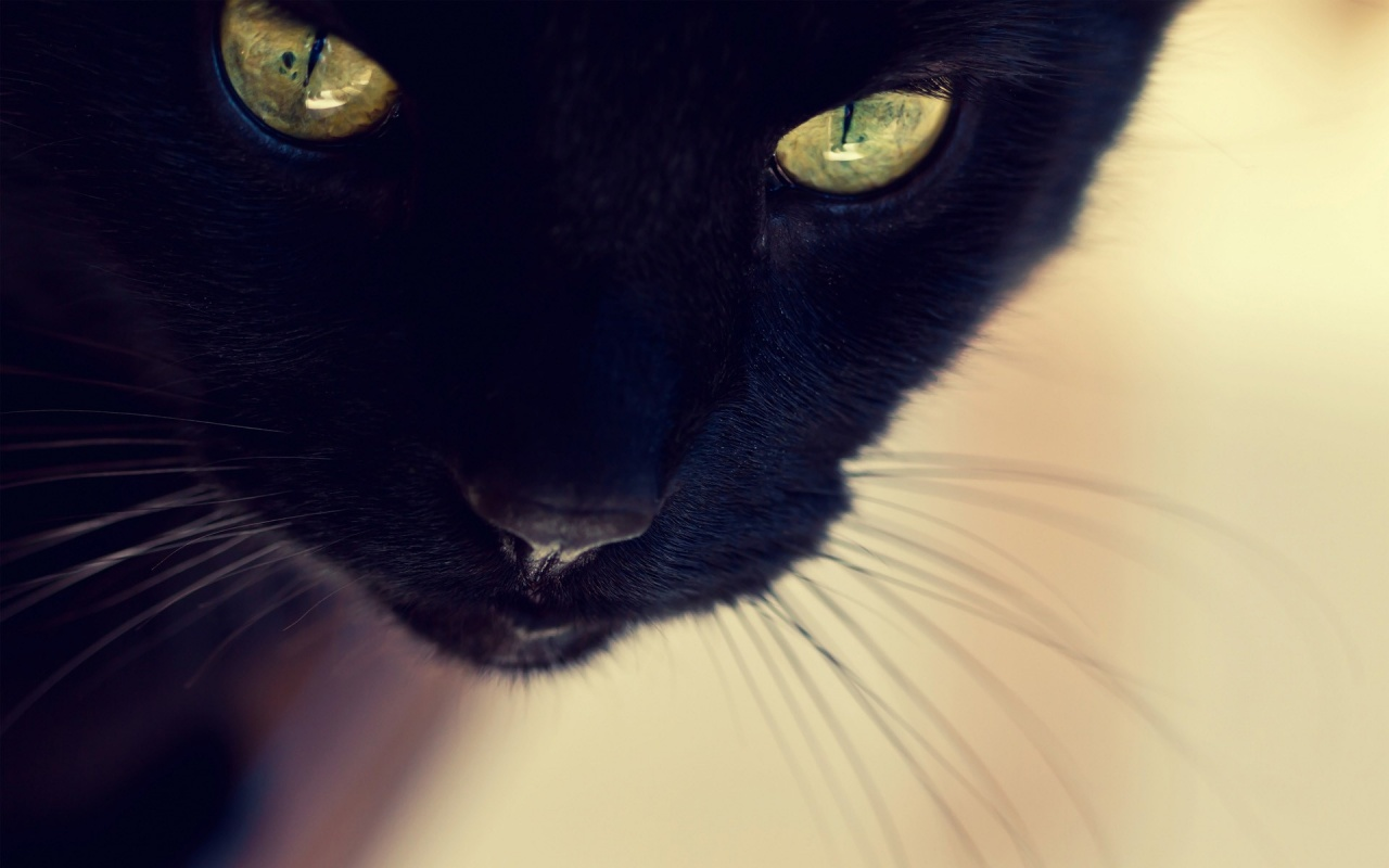 Close Up Cat Wallpaper x Black Cat Close up