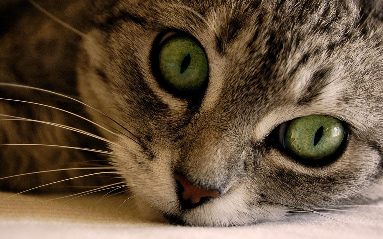 Cat Close Up Wallpapers