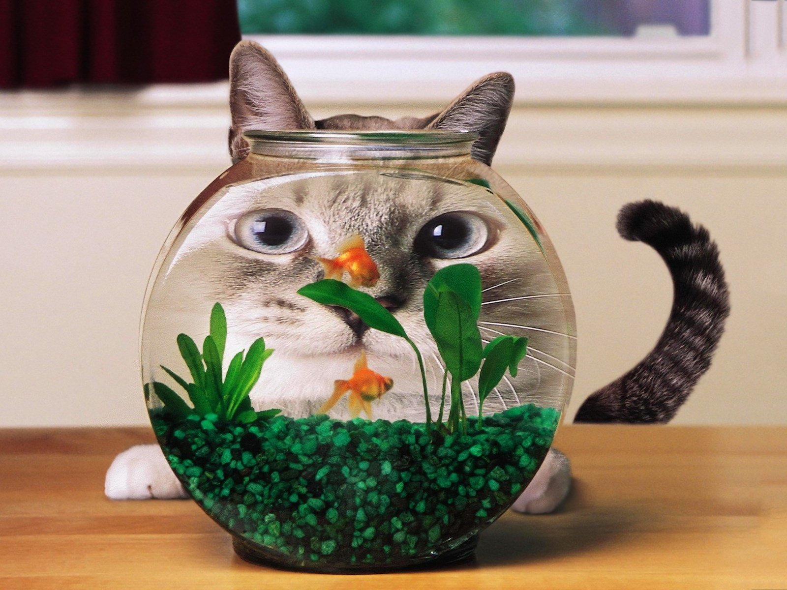 Cat goldfish aquarium Wallpaper in 1600x1200 Normal