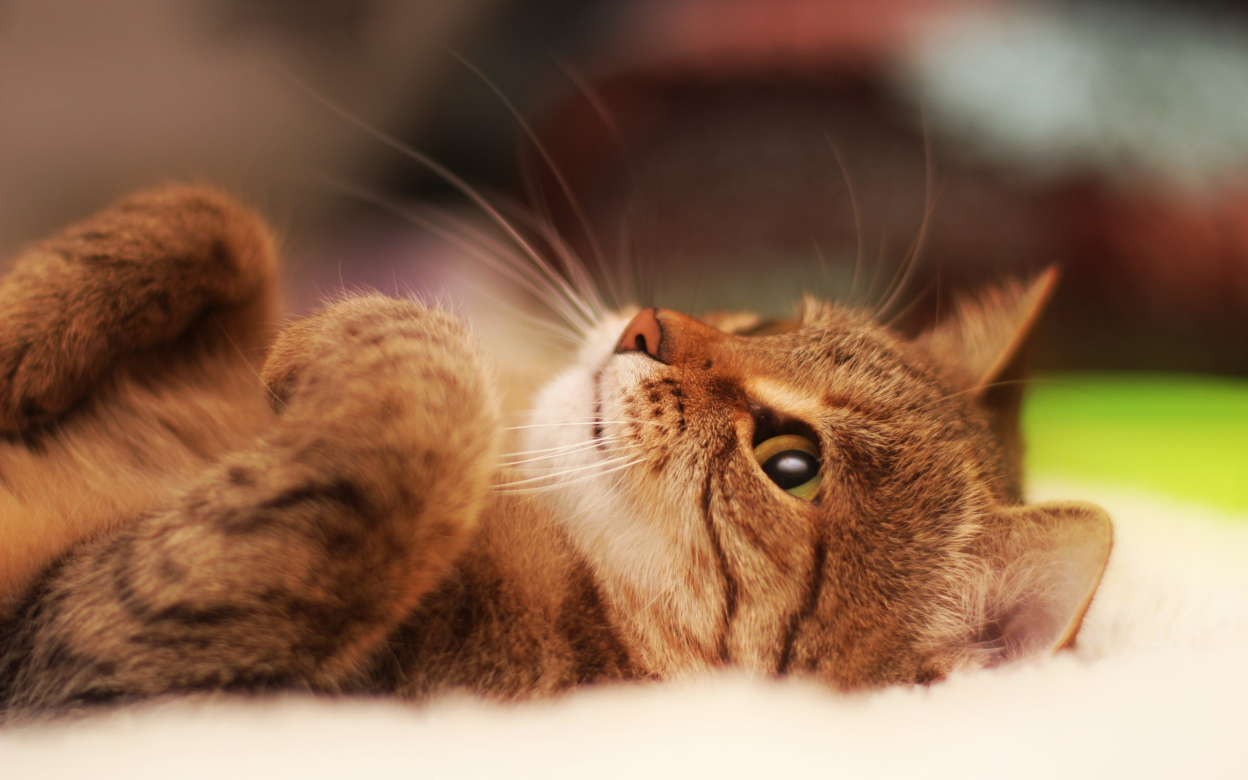cat lying on back looking up