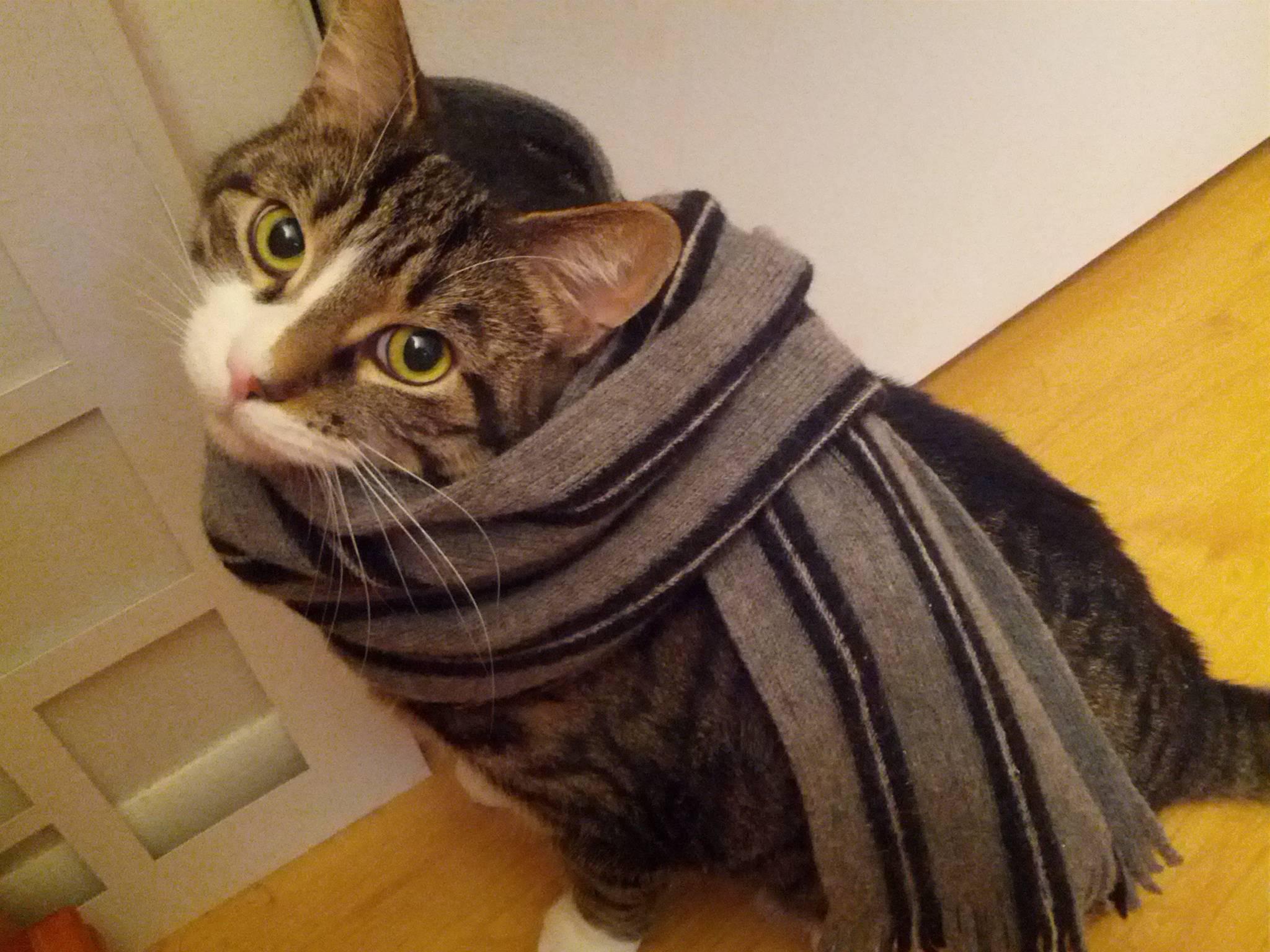 Cat in a scarf.