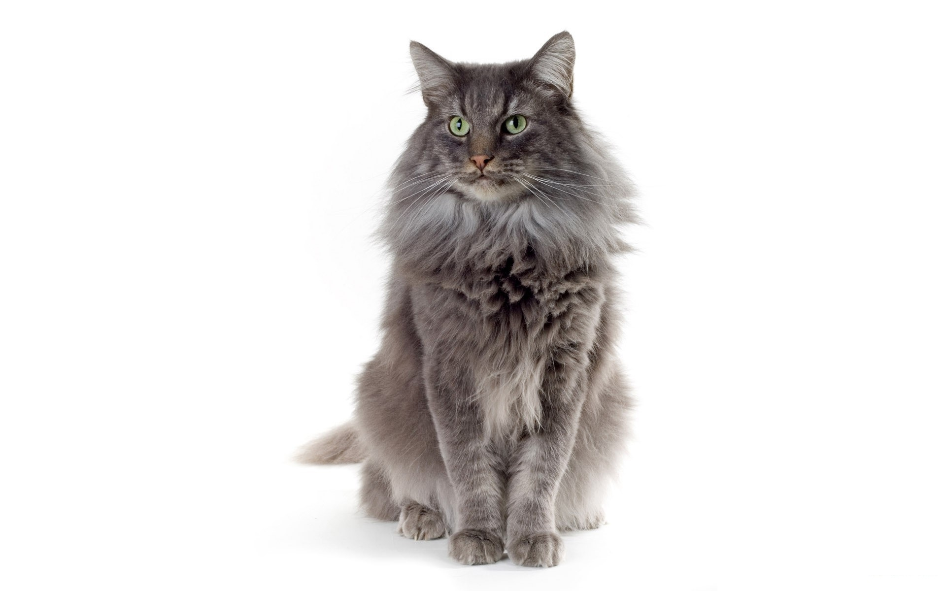 Cat Fluffy Color Sitting