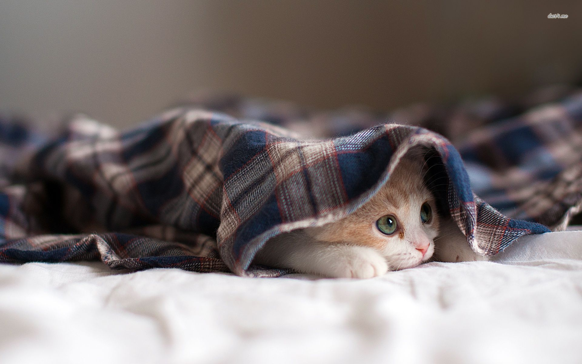 Cat Hiding Under A Blanket Wallpaper 1920x1200 Kitten under a blanket