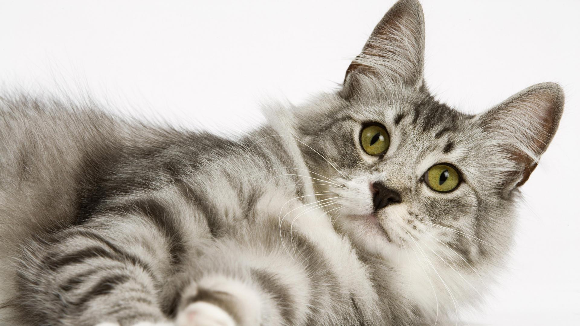 Cat Wallpaper 7