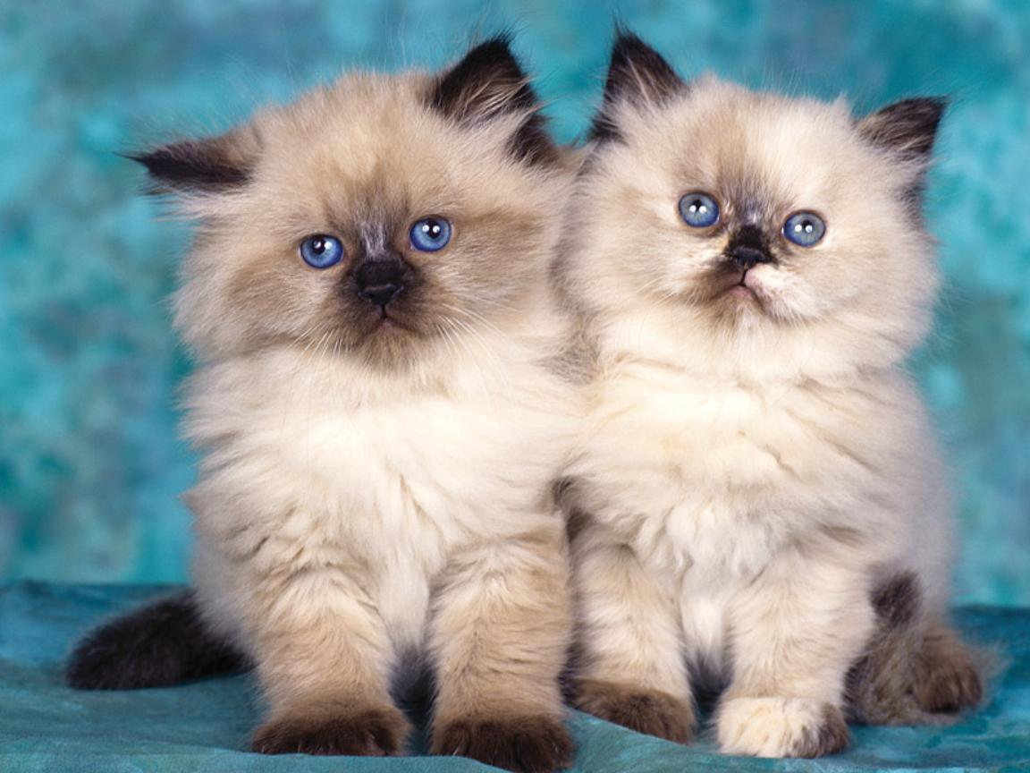 ... cats-blue.jpg ...