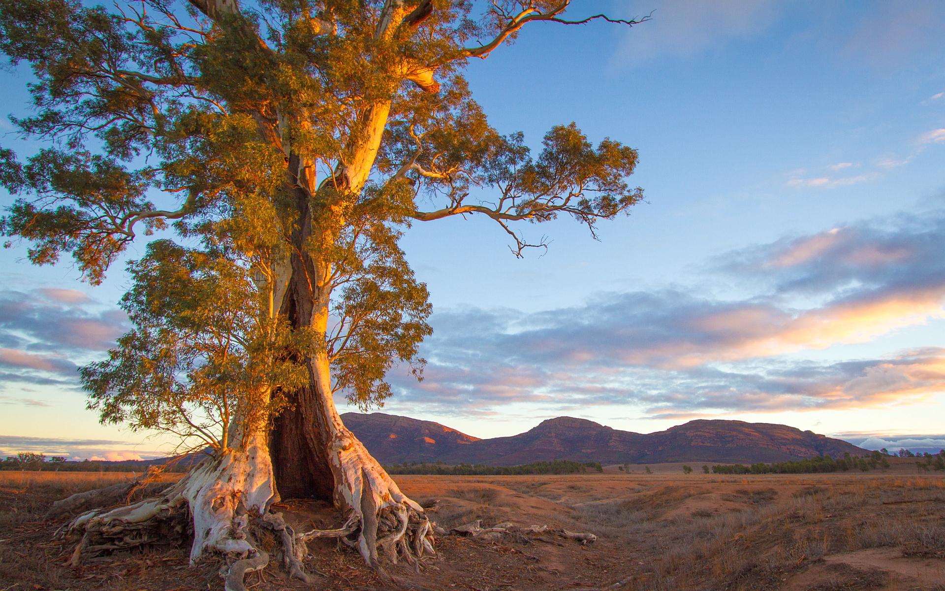 Cazneaux tree sunset