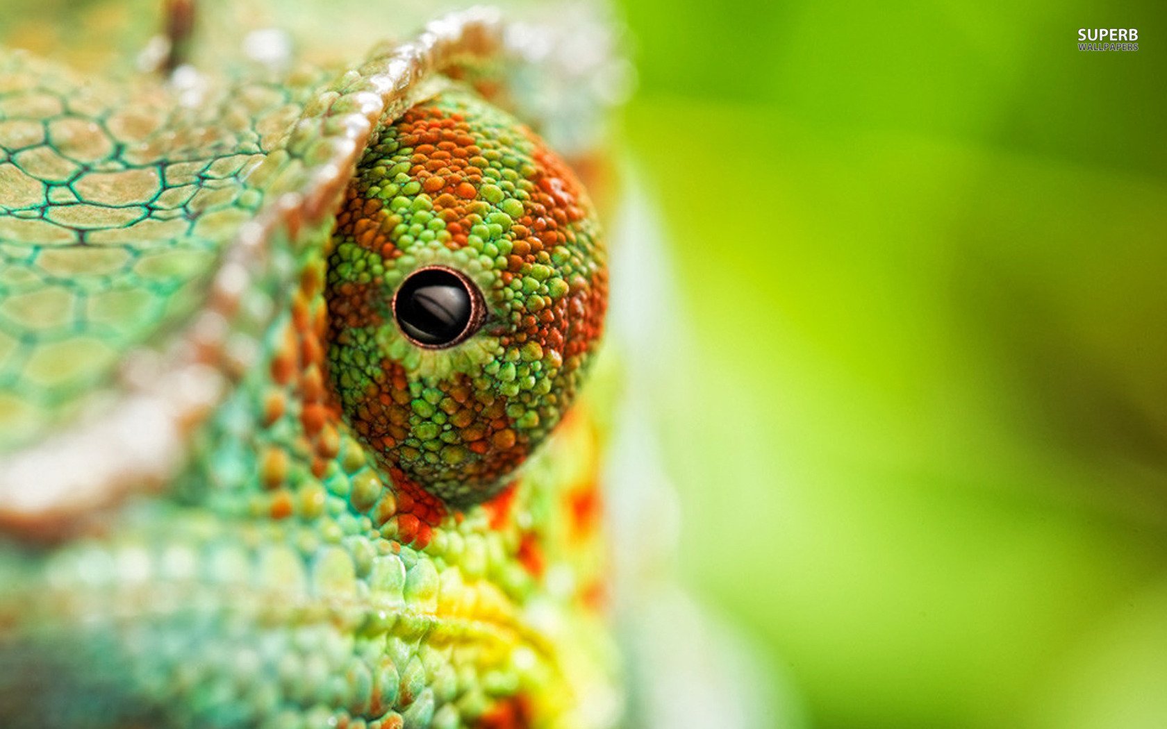 Chameleon wallpaper 1680x1050