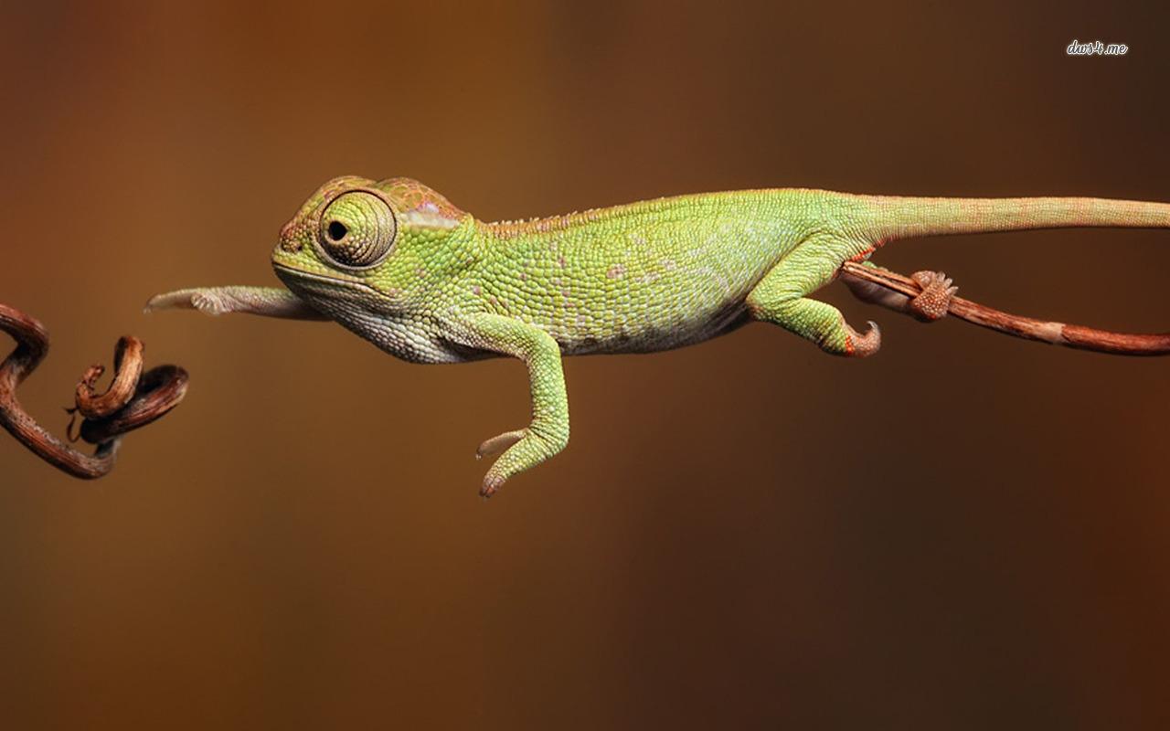 Chameleon Wallpaper Animal Wallpapers
