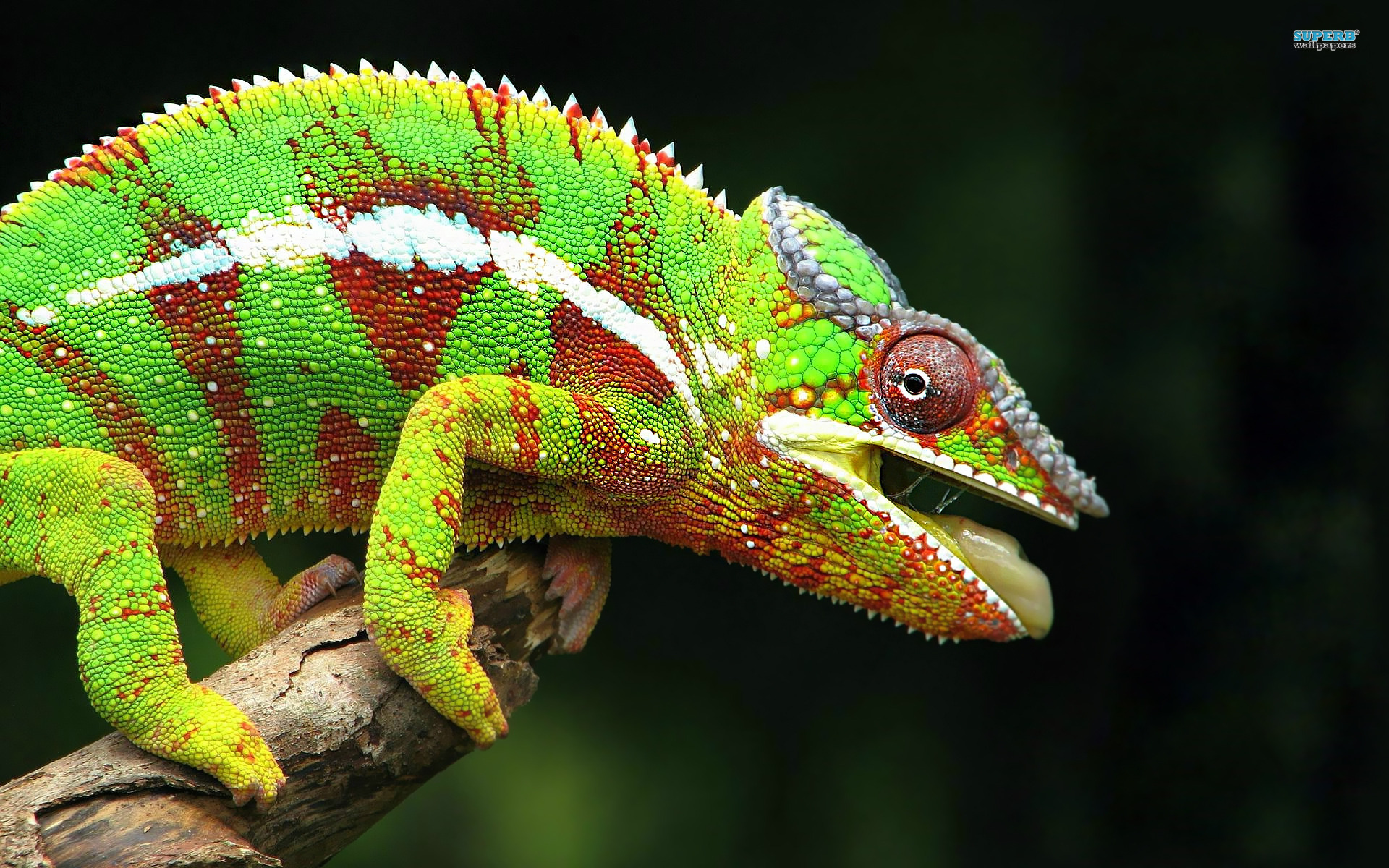 Interesting Fact About Chameleon