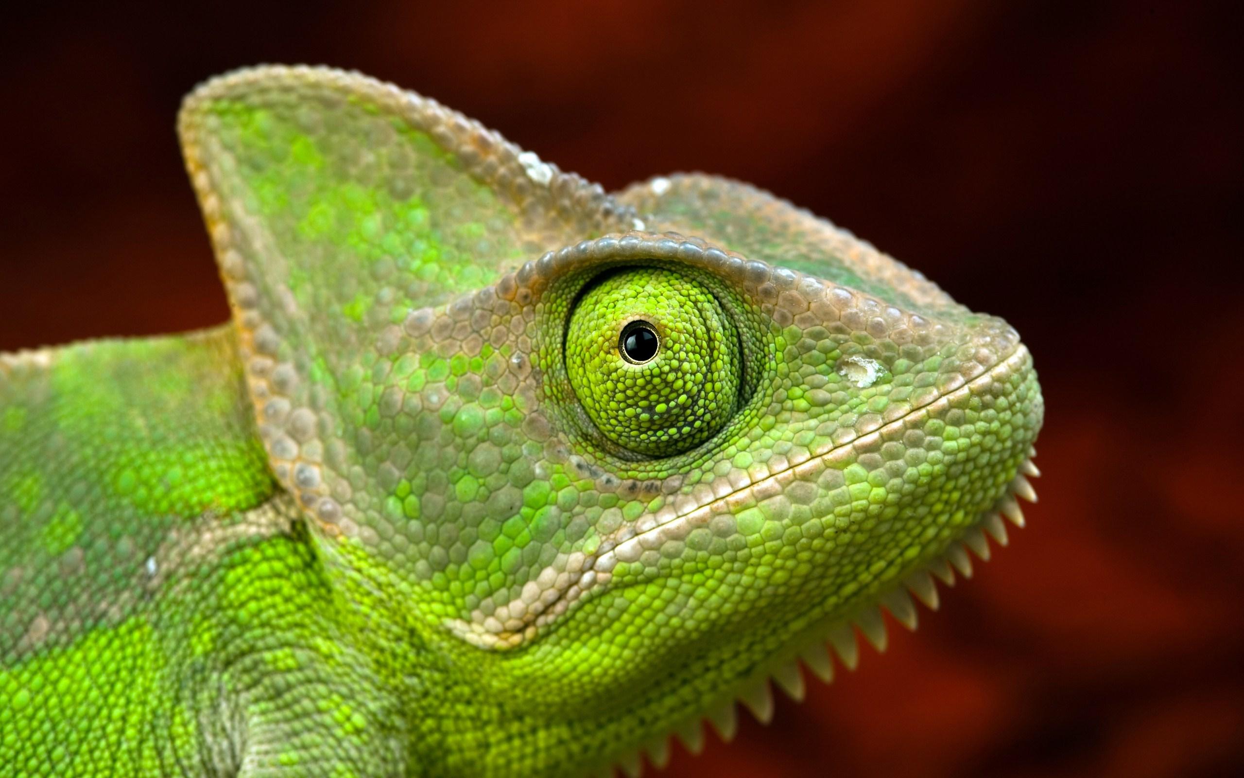 green chameleon side photo close up eye