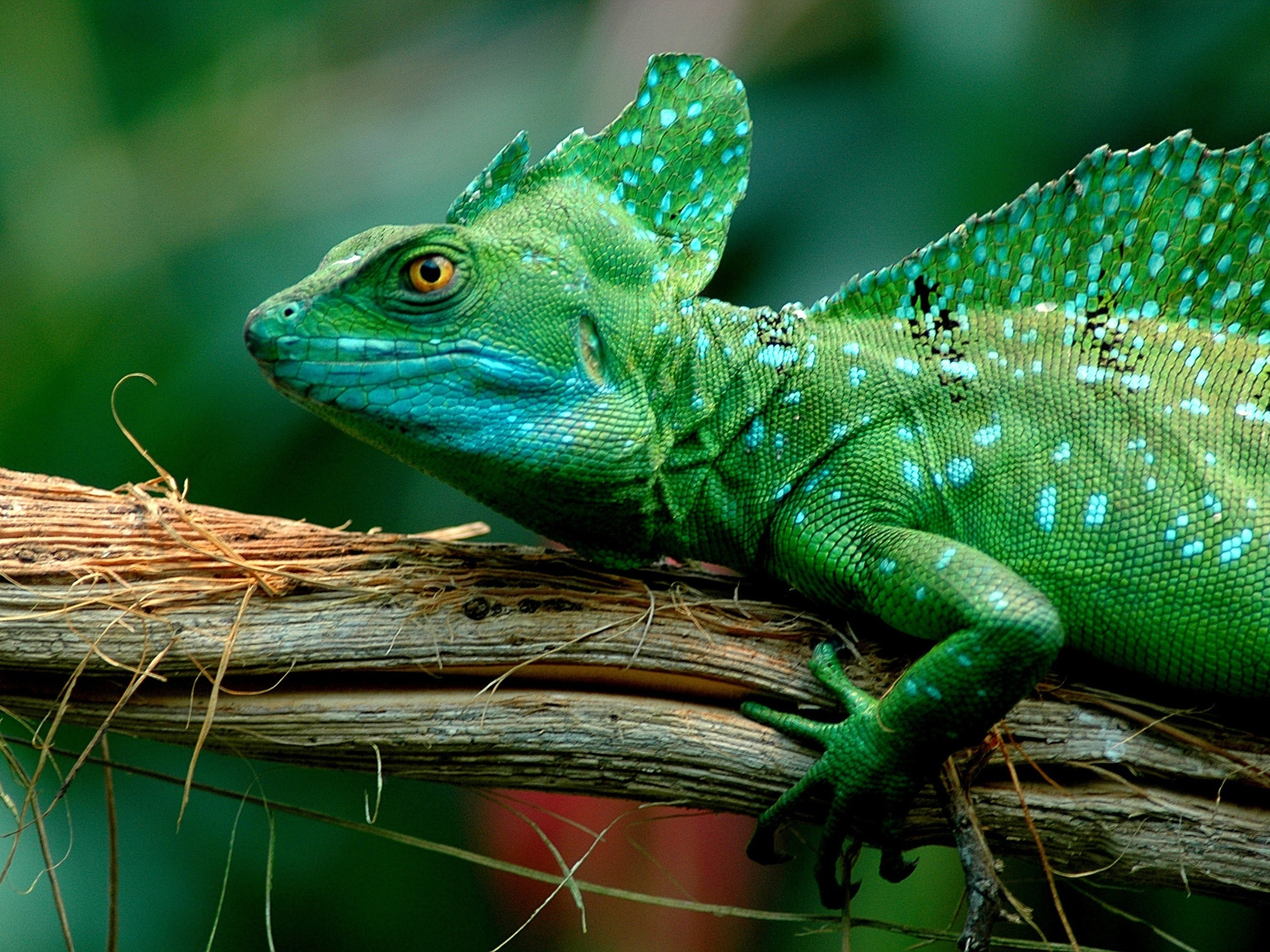 Green lizard, chameleon wallpaper 1920x1440.