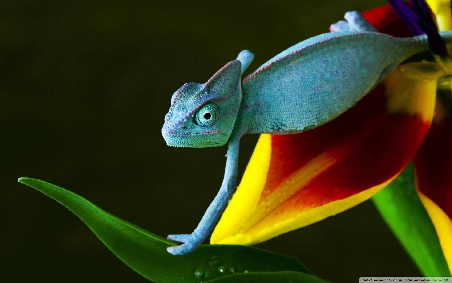 Chameleon Wallpaper