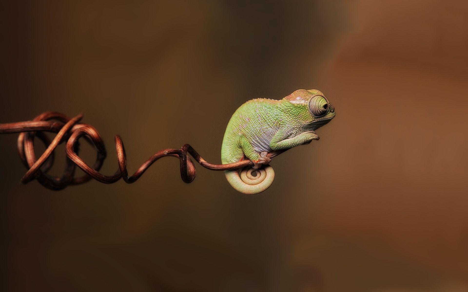 HD Wallpaper   Background ID:120847. 1920x1200 Animal Chameleon