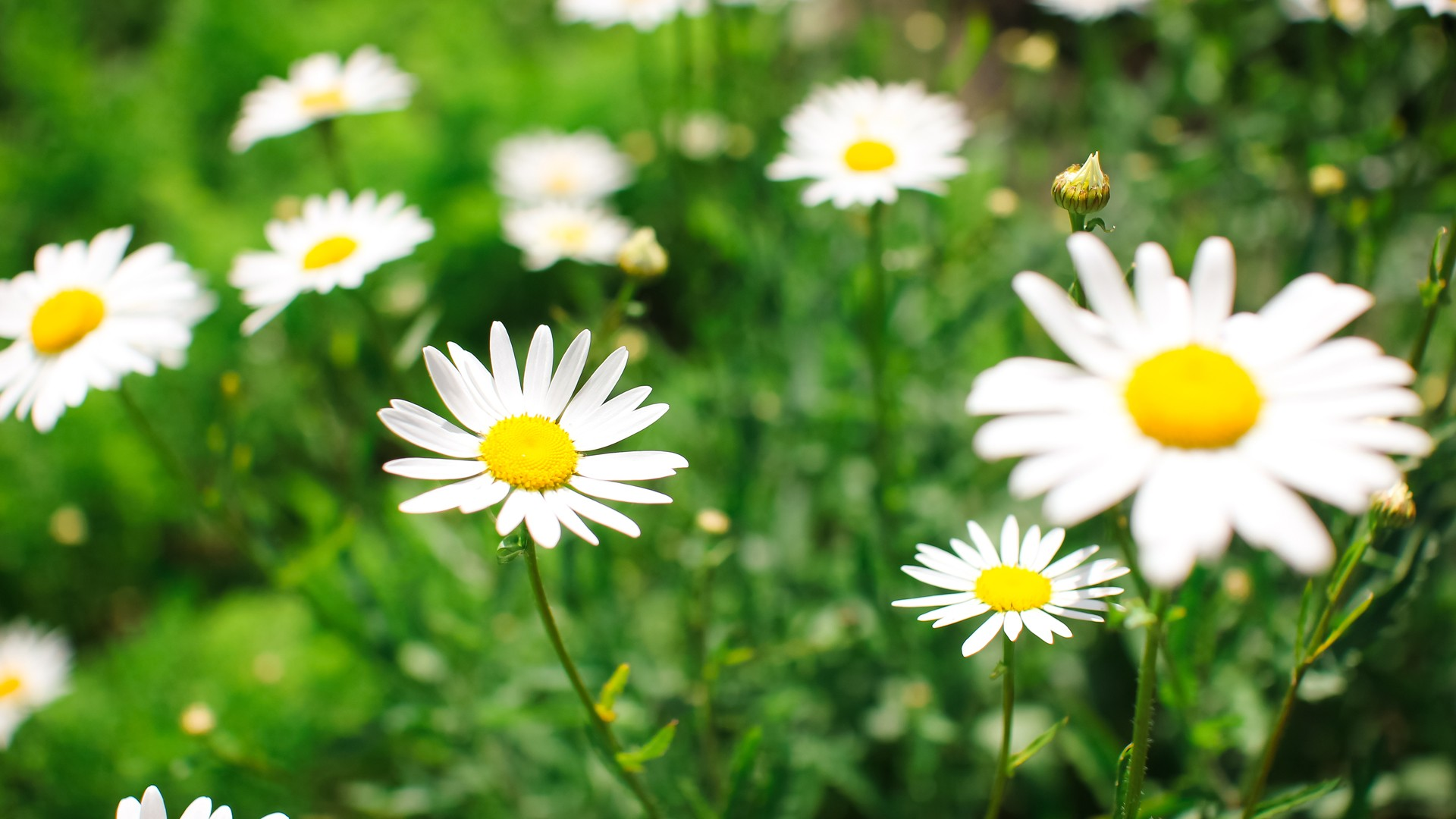 Chamomile wallpaper