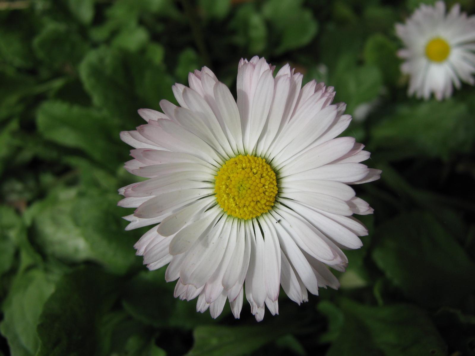 chamomile-flower-6-1600x1200